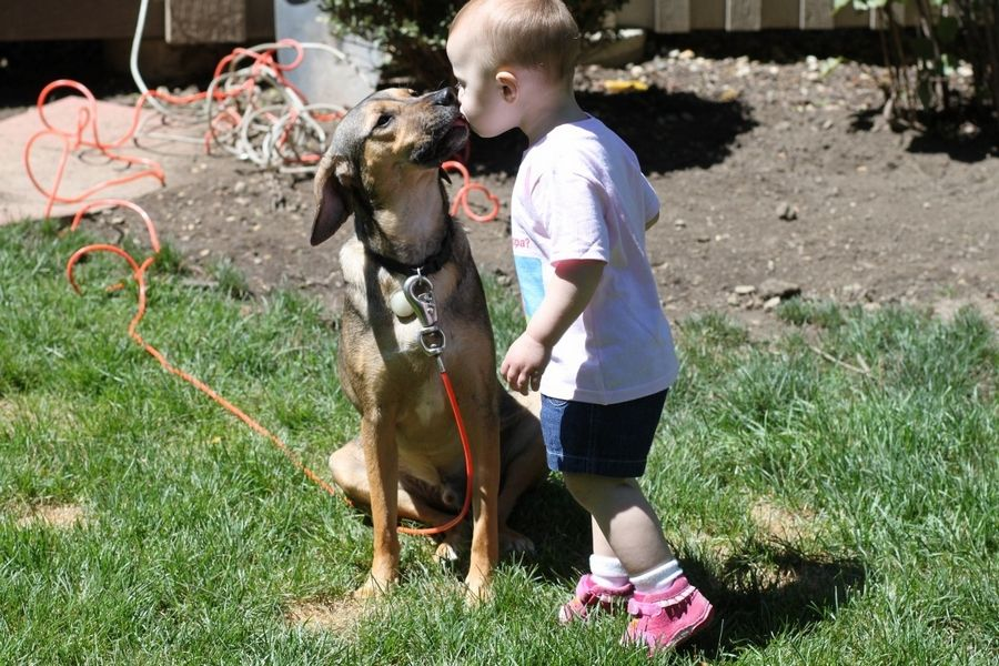 Eden Caponi gets a kiss from Digger the dog a couple years ago. The German shepherd-Beagle mix escaped from a Palatine boarding service on Aug. 5.