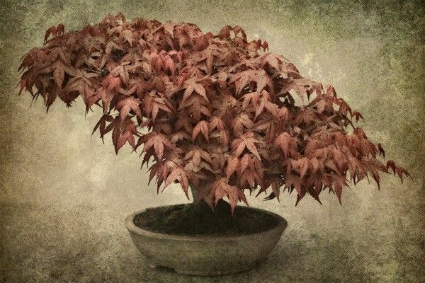 Roselle artist Joanne Barsanti prints her images on special paper. This portrait of a red maple bonsai was taken at the Chicago Botanic Garden bonsai exhibit.