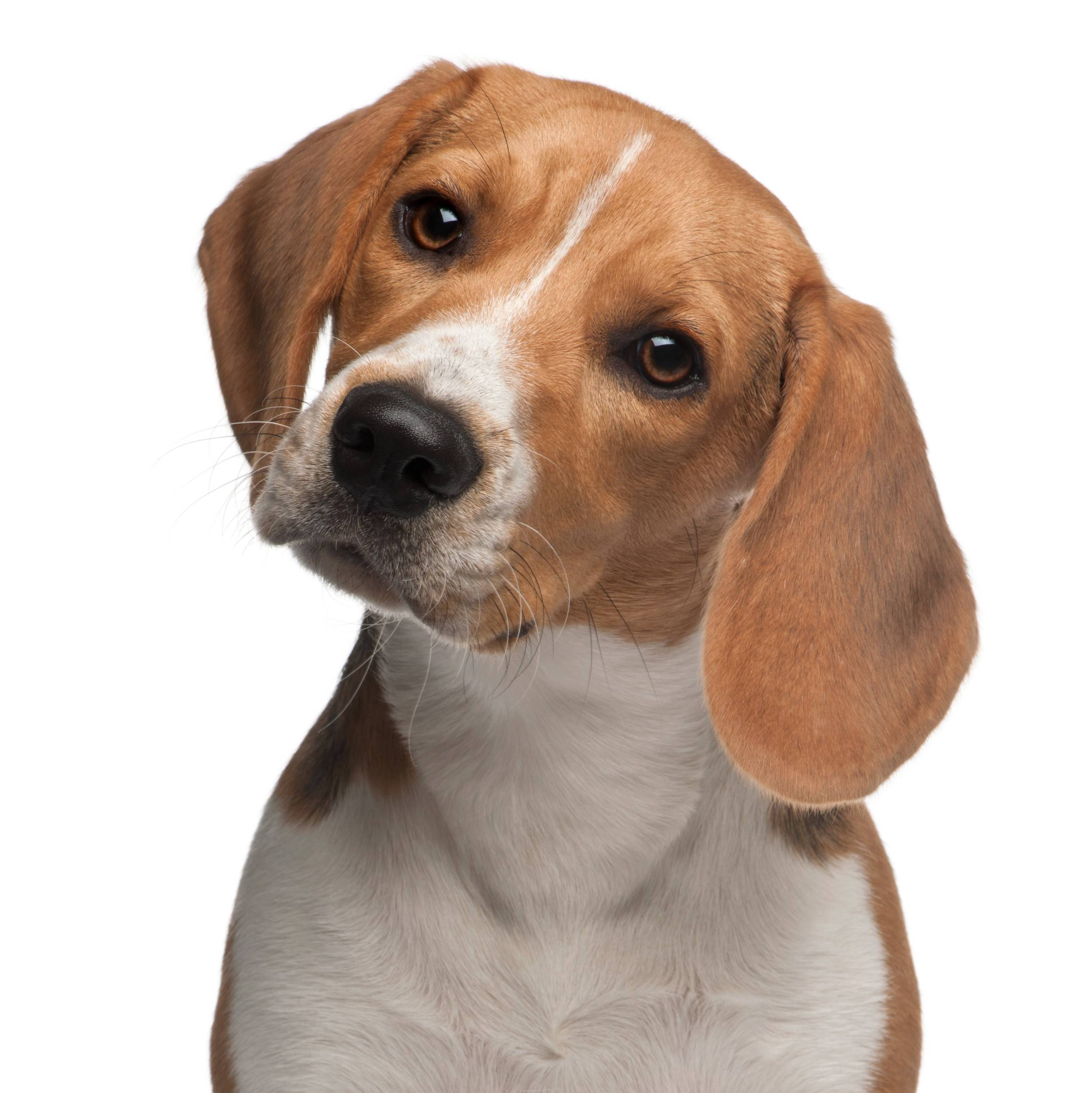 Beagle enthusiasts are invited to spend the day with their canine friends at Beaglefest.