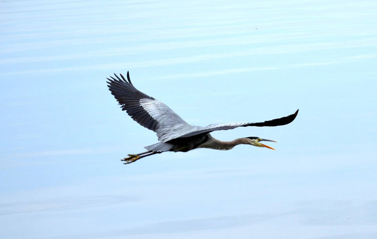 A magnificent blue heron flies over Channel Lake in Antioch on June 14.