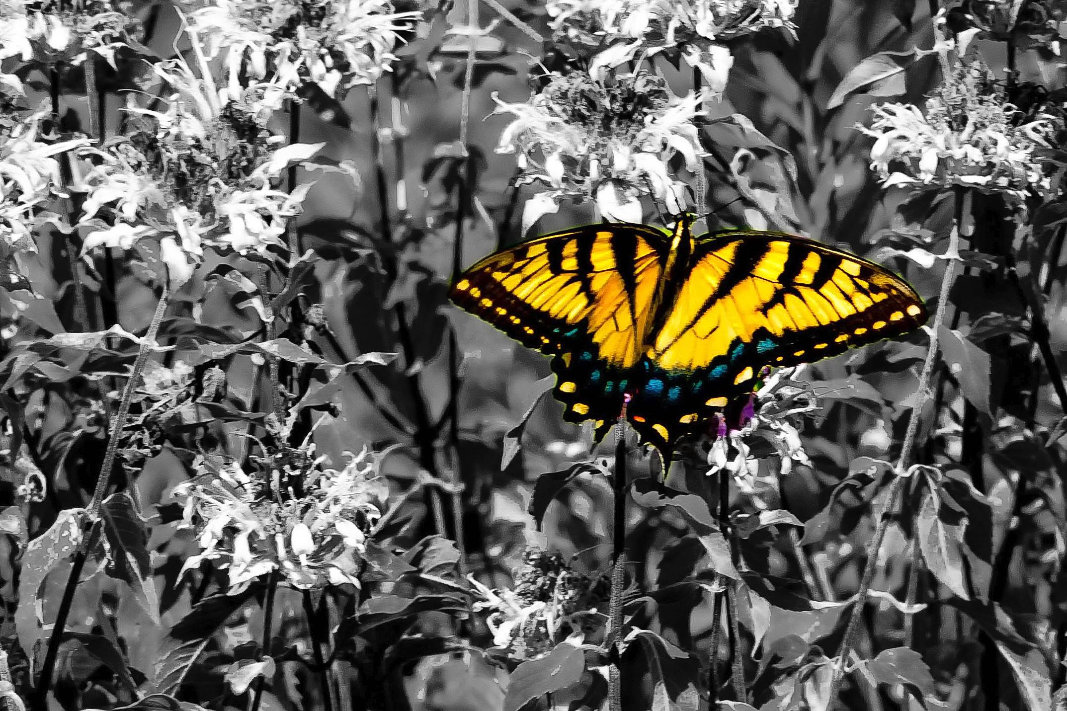 Tony Lyons of Wheaton won first place in our August Photo Finish contest for this shot of a swallowtail butterfly.