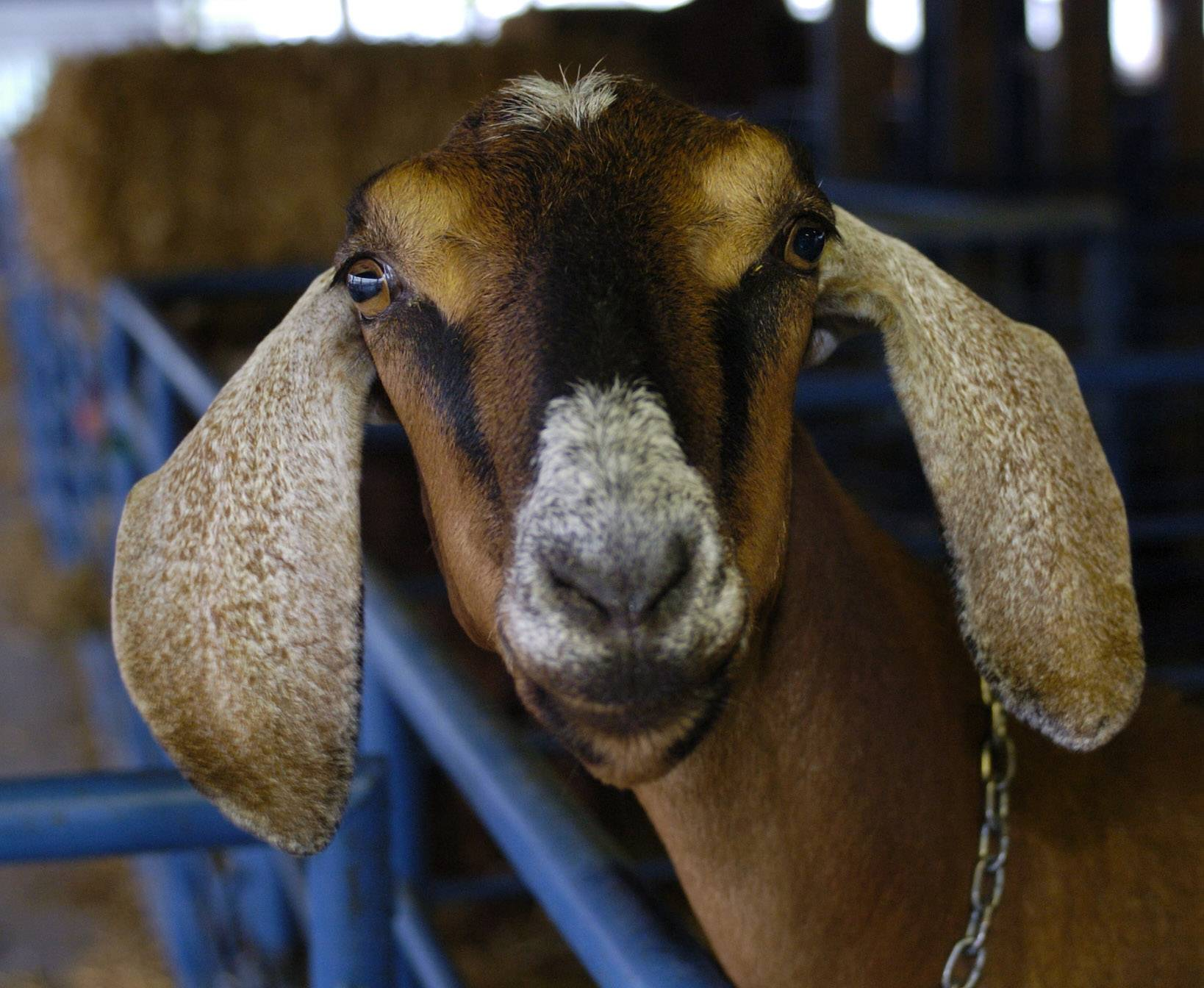 In attempt to break Cubs curse, Des Plaines aldermen OK goats at campground