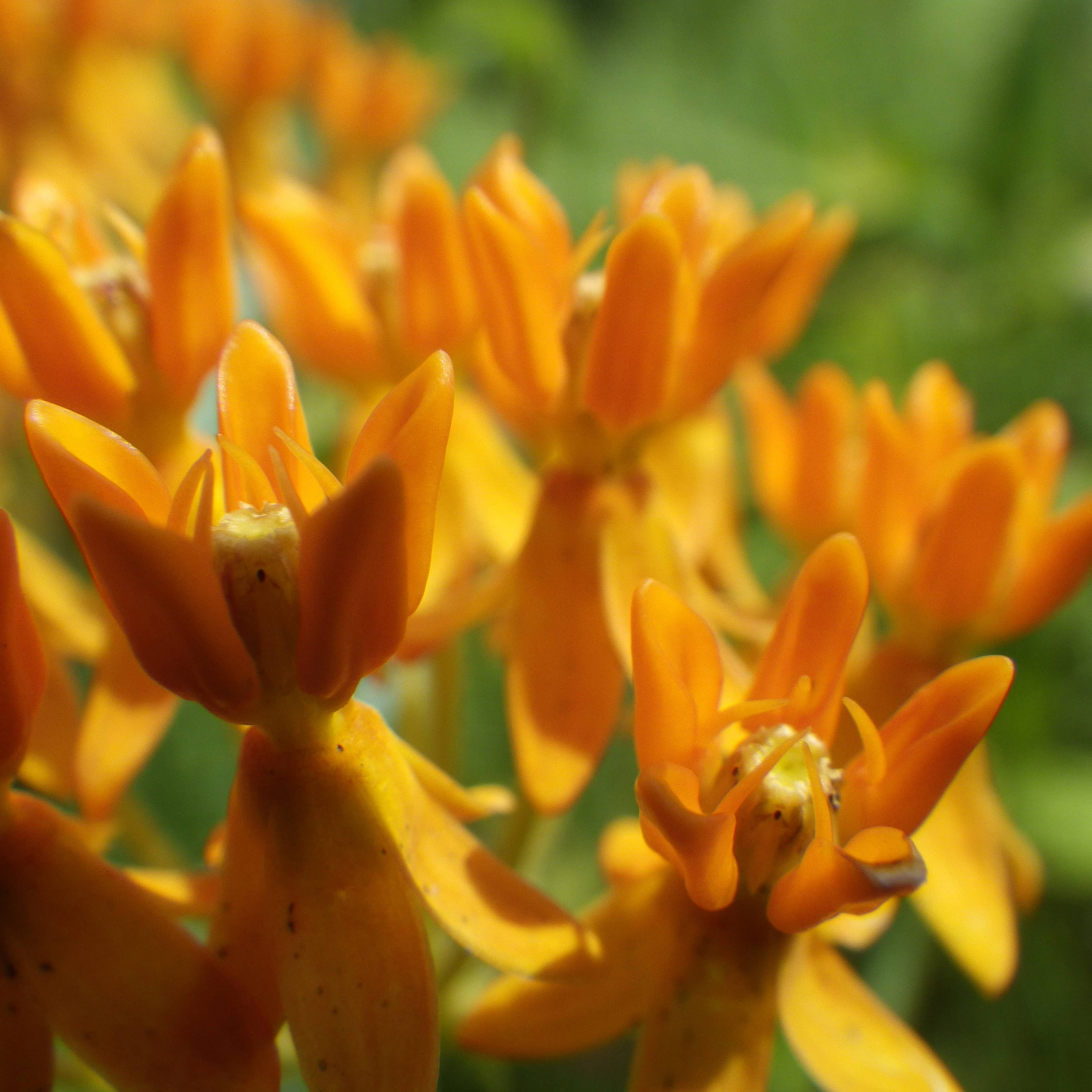 There are more than 70 species of milkweed in the United States. Here in Kane County, the bright orange butterfly weed (Asclepias tuberosa) grows in quality prairies. Common milkweed (A. syriaca) can be found along roadsides and fencerows, as well as in prairie habitat.