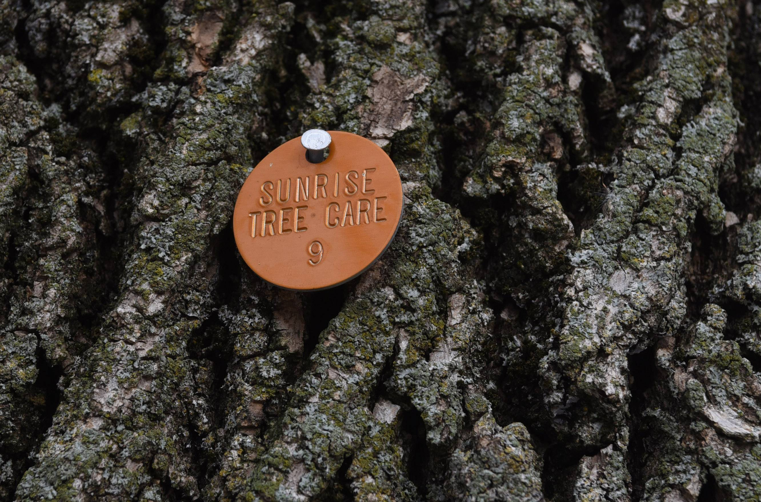 A tag installed by Sunrise Tree Care, the company treating some of the ash trees in Arlington Heights.