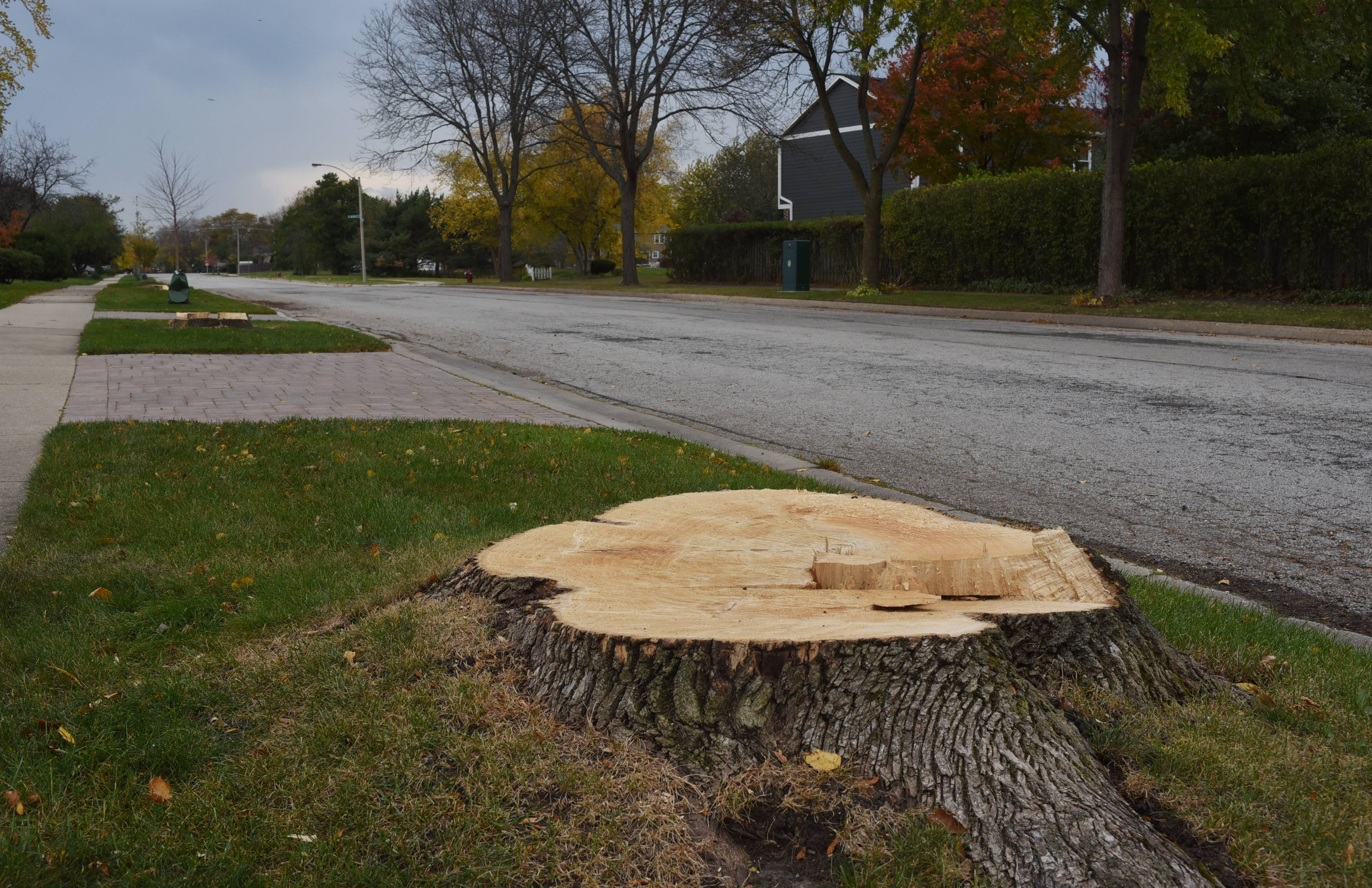 The stump of an ash tree on Suffield Drive in Arlington Heights.