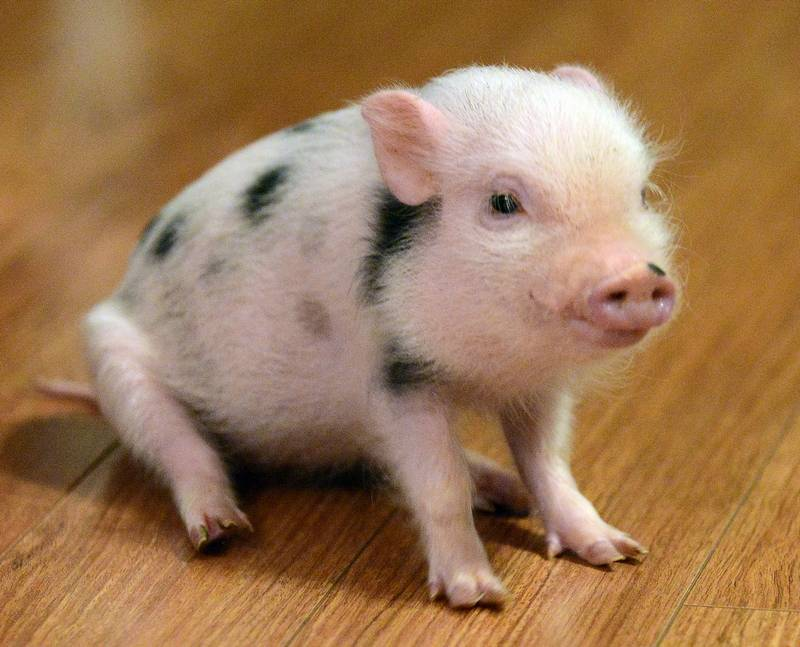 meet ganon the micro pig couple want elgin to let him be