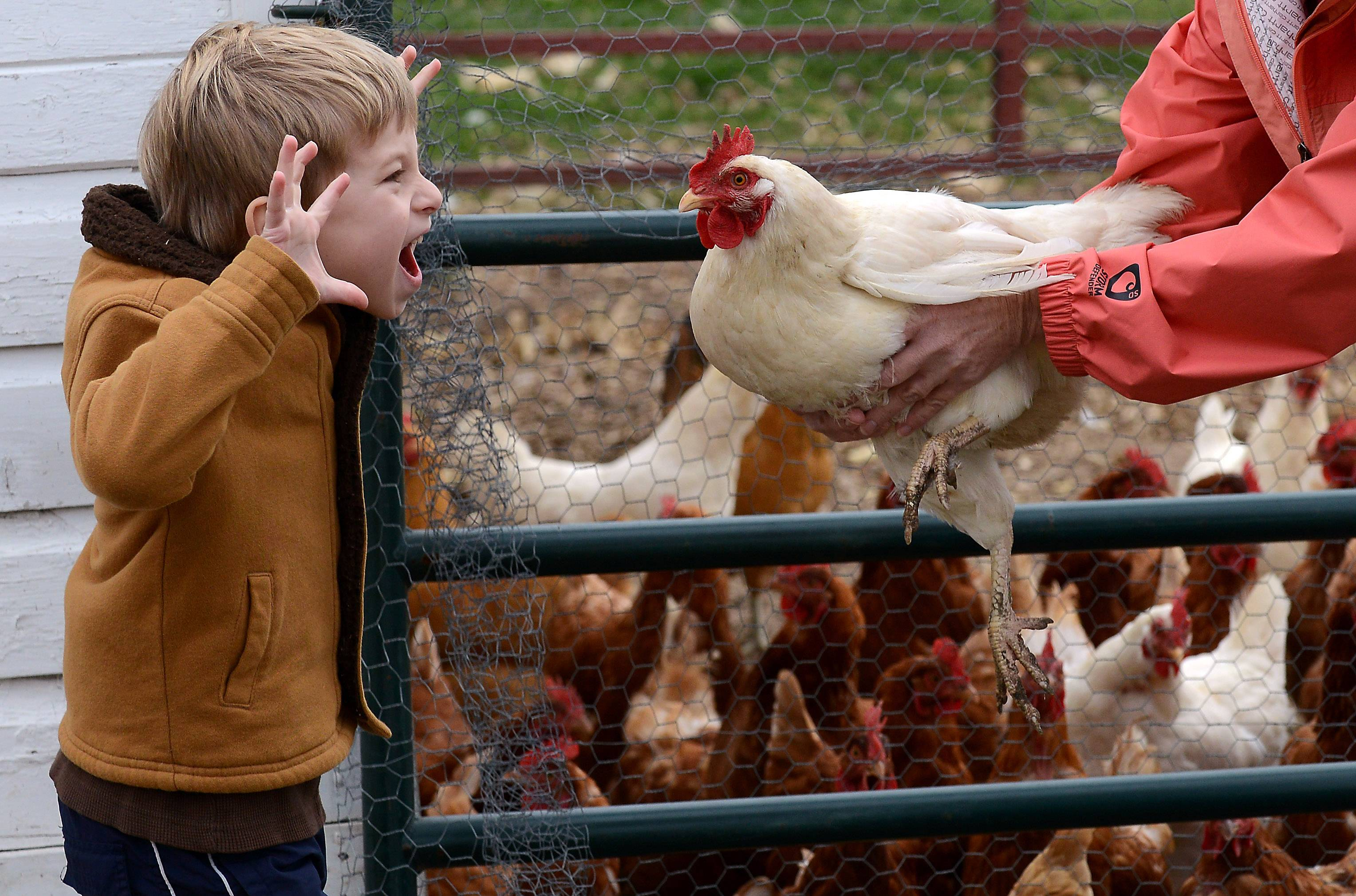 Some of my favorite pictures have nothing to do with the assignment that I was shooting at the time. In this case I was at Brookdale Road Farm in Woodstock, shooting a portrait of owners Gennifer and Scott Johnson when their 6-year-old son Solomon acquiesced to joining them in the photo. Gennifer was going to hand him a chicken to hold but the chicken wasn't being cooperative and flapped his wings in Solomon's face. Not to be outdone, Solomon put on his scary face to show the chicken who is boss. This photo was published in the Perspective column in the print edition of the Daily Herald. To comment, please contact Rick West, rwest@dailyherald.com. Follow me on Twitter @dhrickwest or Instagram @rickwest. You like the Facebook? www.facebook.com/rick.west.7393.