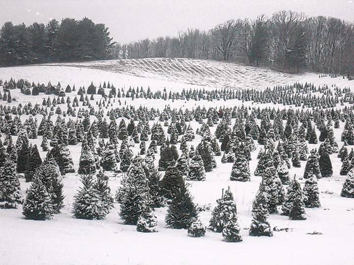 Cutting Your Own Christmas Tree In Burbs All About
