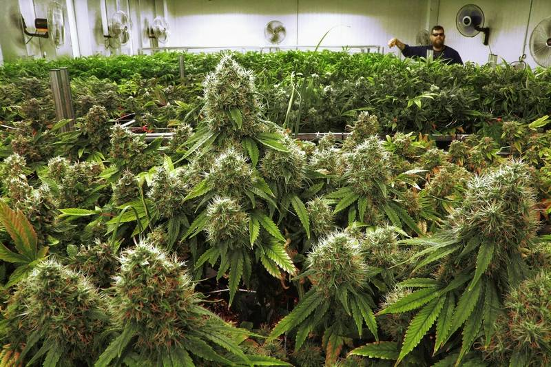Illinois medical marijuana sales in first month top 800 000 for Cannabis plantation interieur