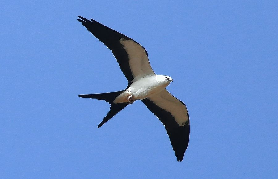 When a swallow-tailed kite visits Illinois it's a big deal. This one sent birders scurrying to Champaign in late August and over Labor Day weekend.