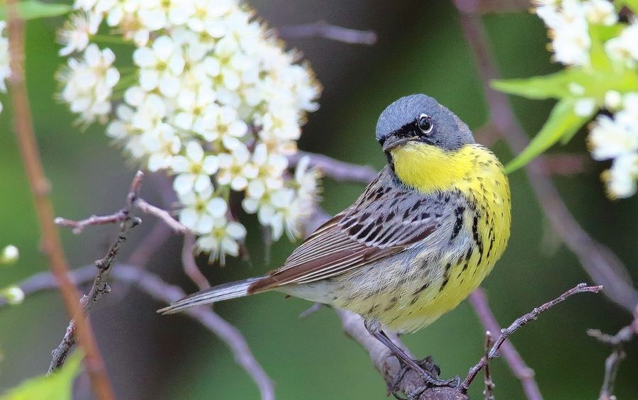 "Often called America's rarest songbird, this Kirtland's warbler was a ""lifer"" for many area birders. It rested for several days at Chicago's ""Magic Hedge"" in May."