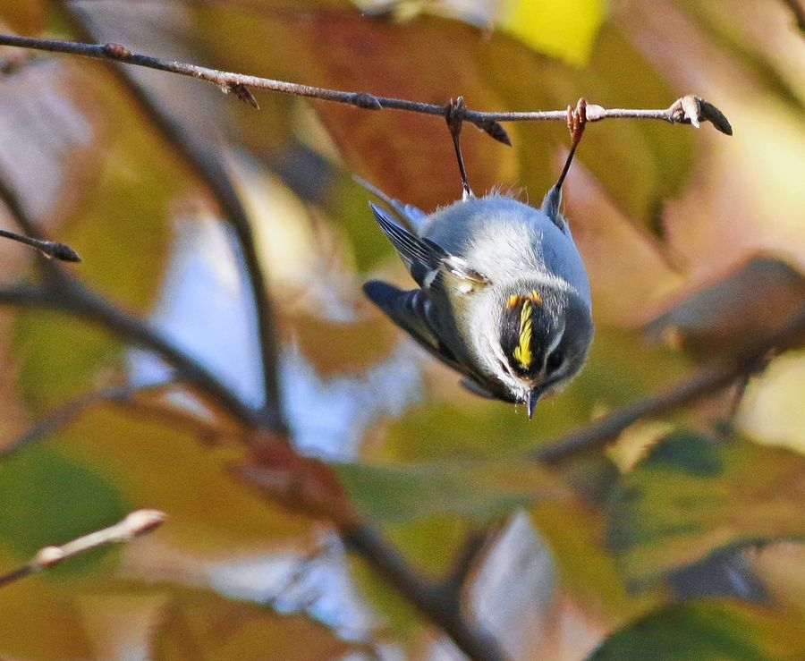 Common birds made us smile in 2015, too. This golden-crowned kinglet gave new meaning to the word flexible.