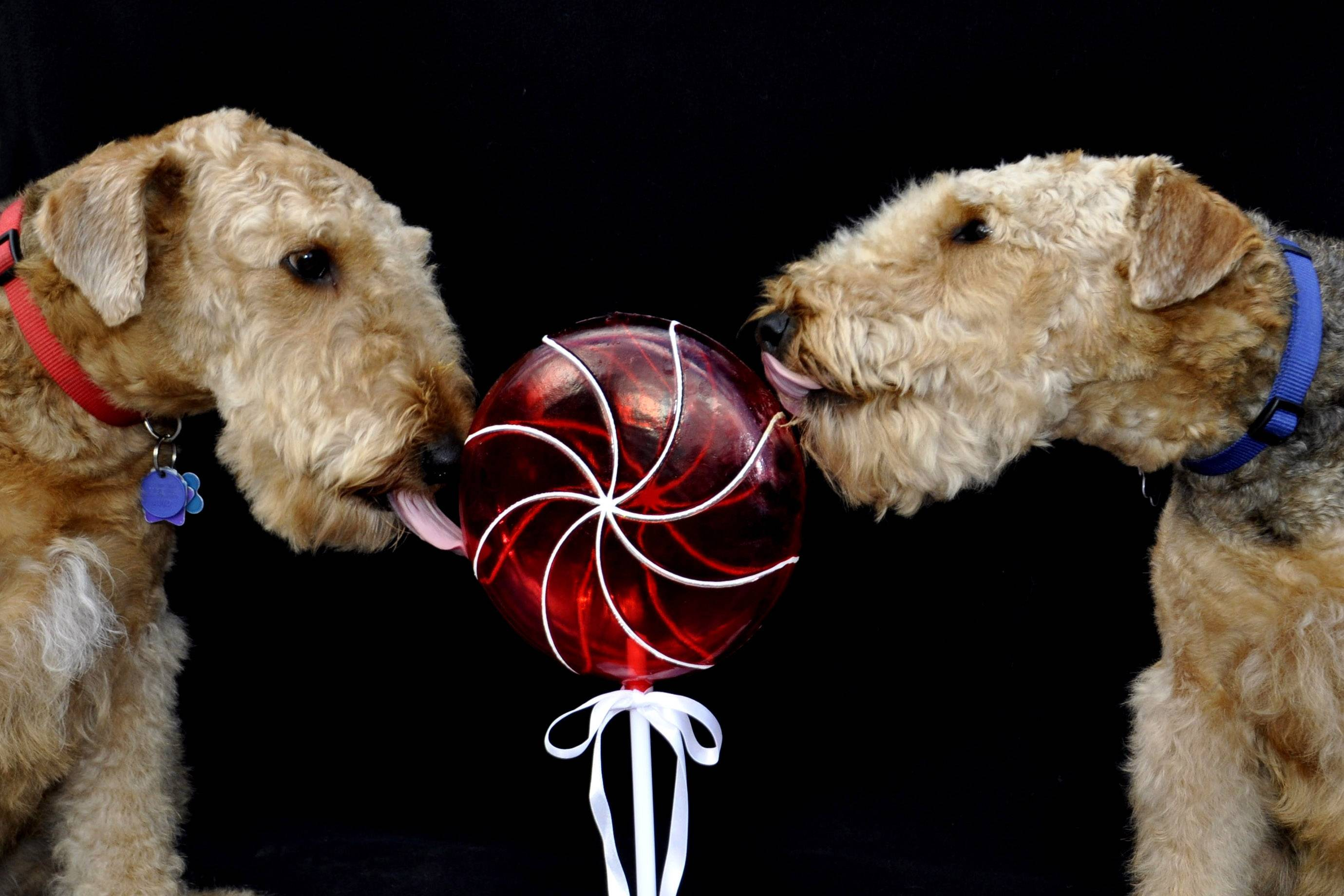Two Airedales named Tara and Scarlett are posed last week with a candy-like decoration stuck in the ground coated with a little peanut butter to encourage the dogs to lick it.