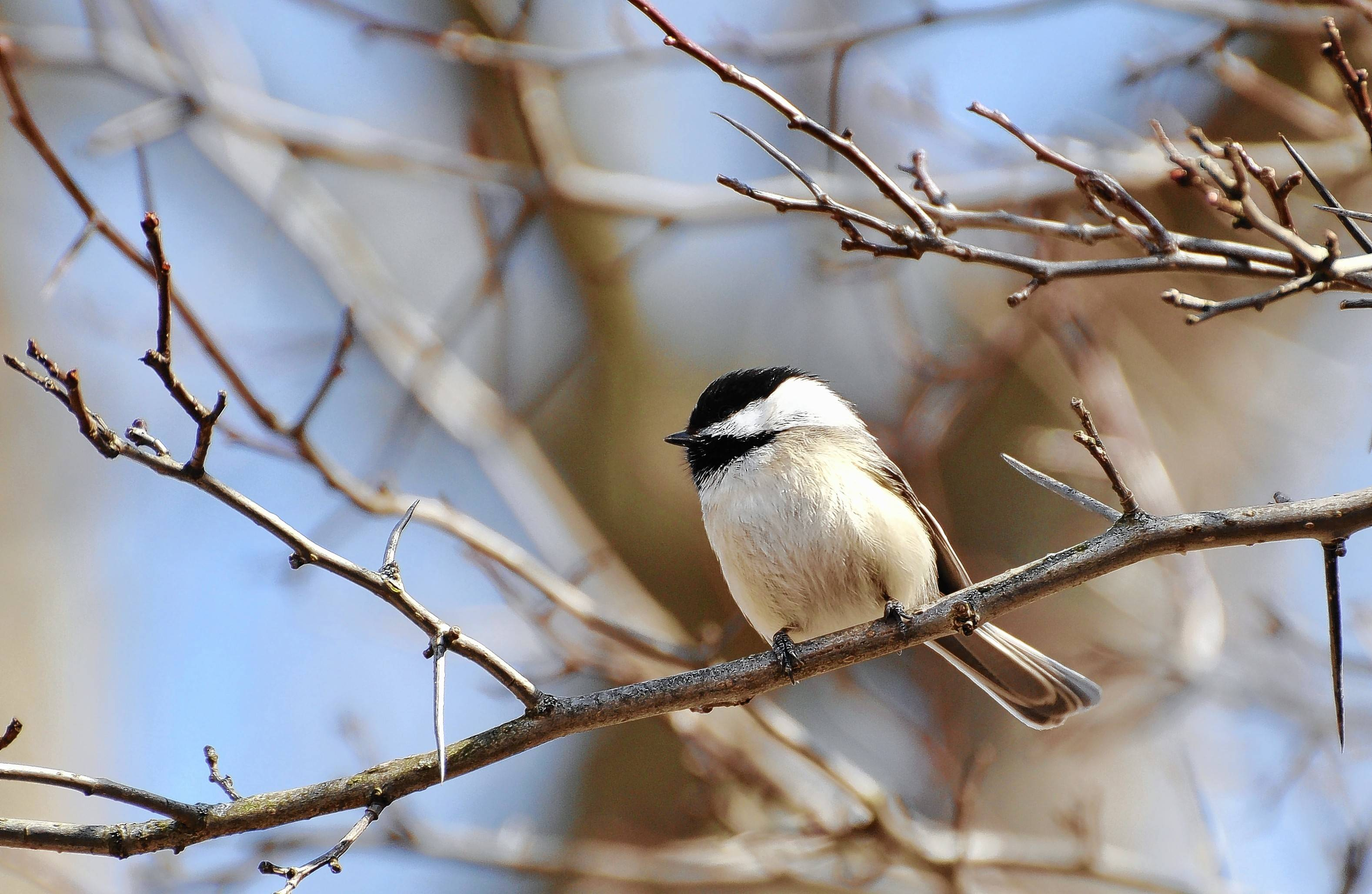The black-capped chickadee, a backyard favorite, may one day be uncommon in the Chicago region. Climate change is expected to shift the bird's geographic range northward.