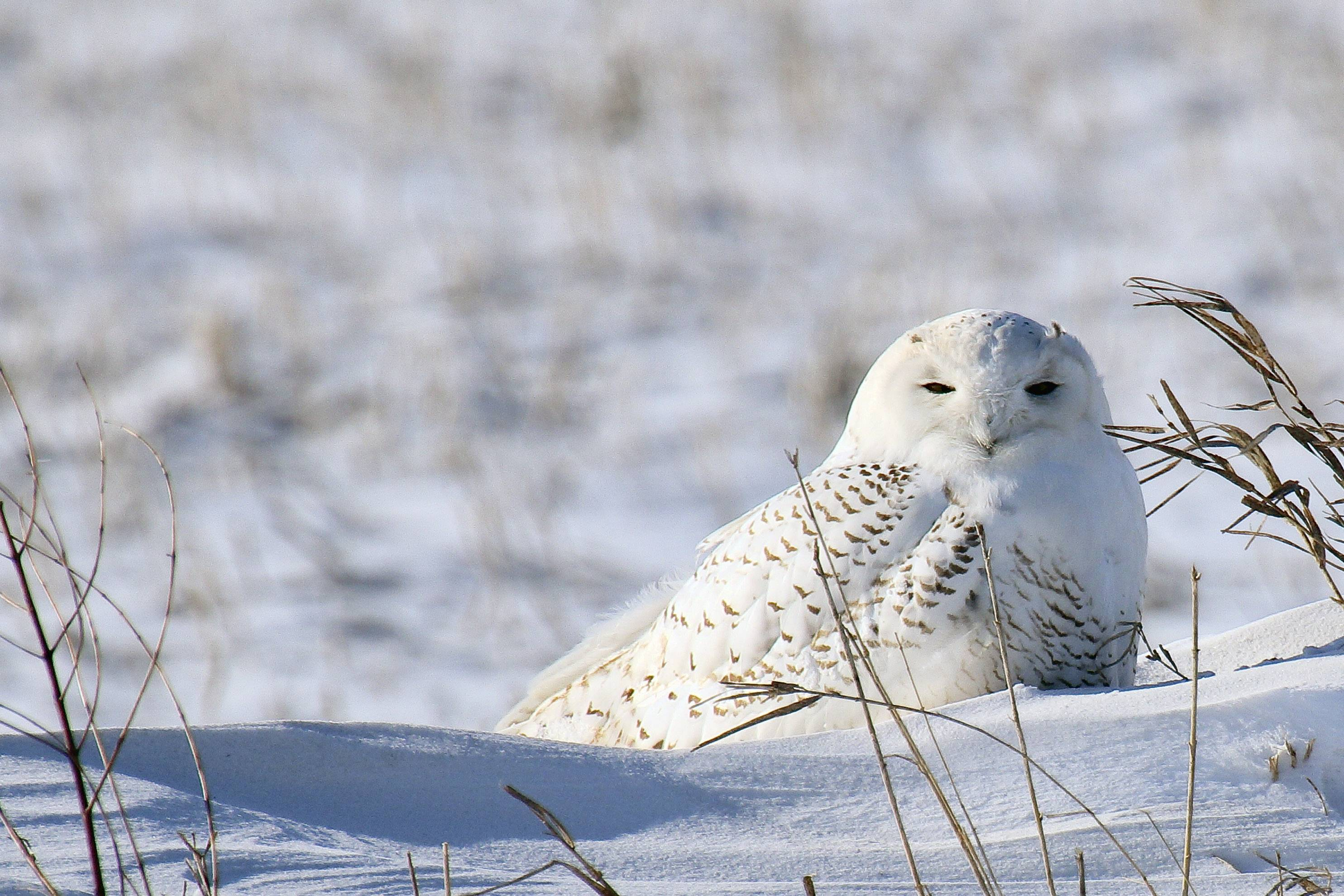 Frigid temperatures and an hour + drive to Lee Co. did not stop me from photographing this rare and beautiful Snowy Owl.