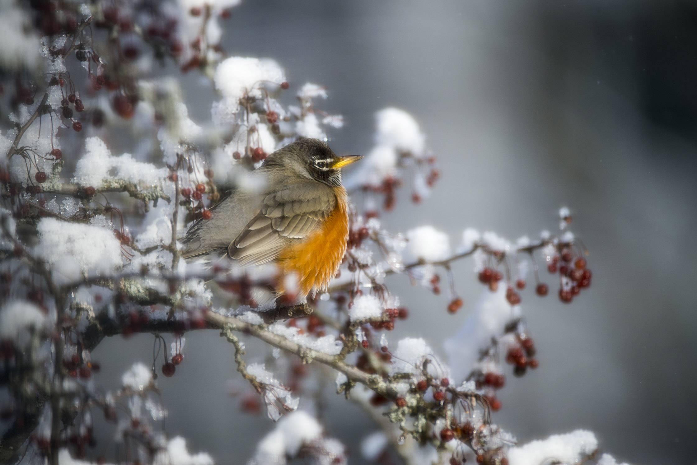 A robin shivers on a snowy bush outside a Hawthorn Woods window on January 10.