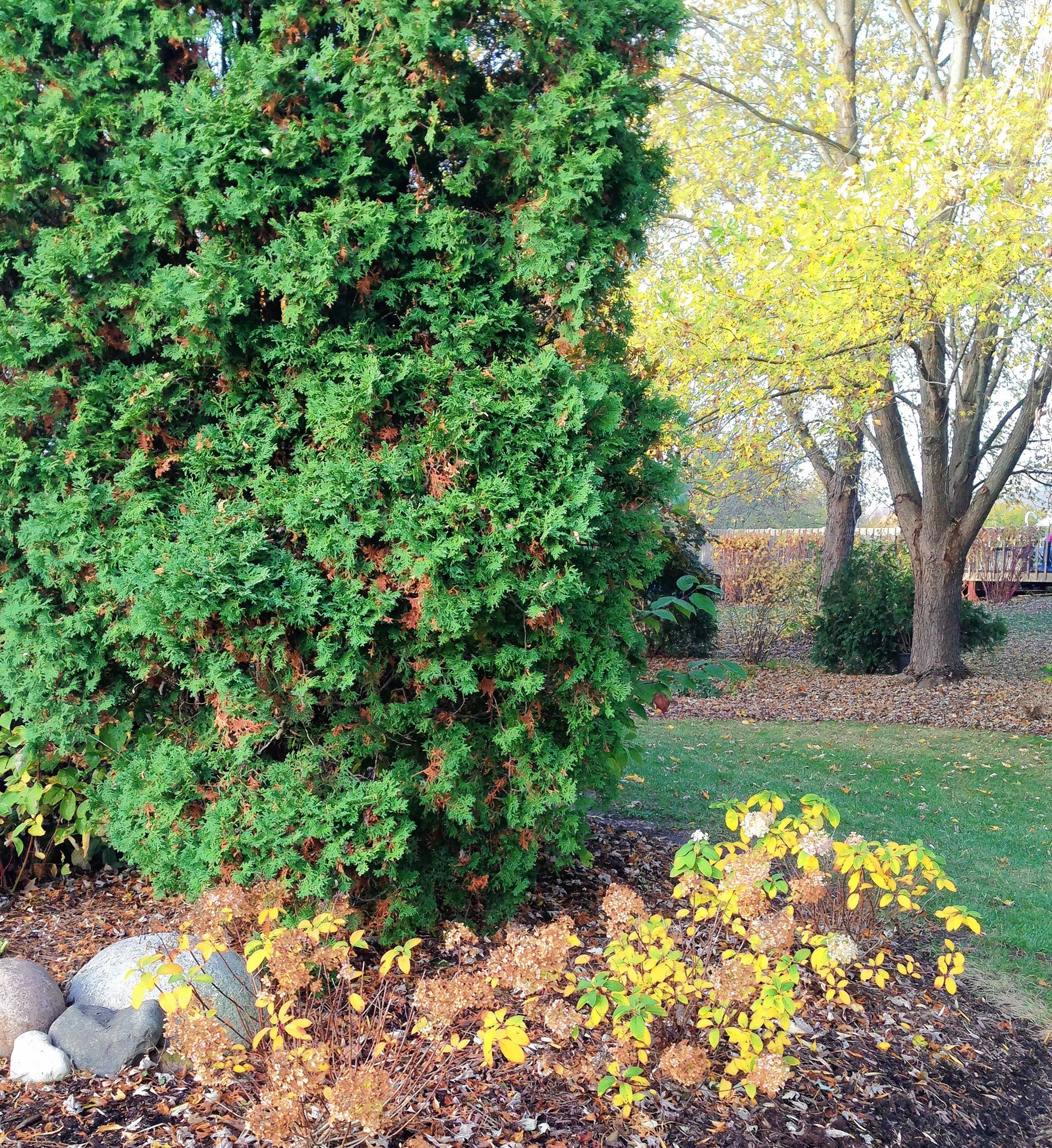 Arborvitaes stand out in the landscape when deciduous trees and shrubs drop their leaves.