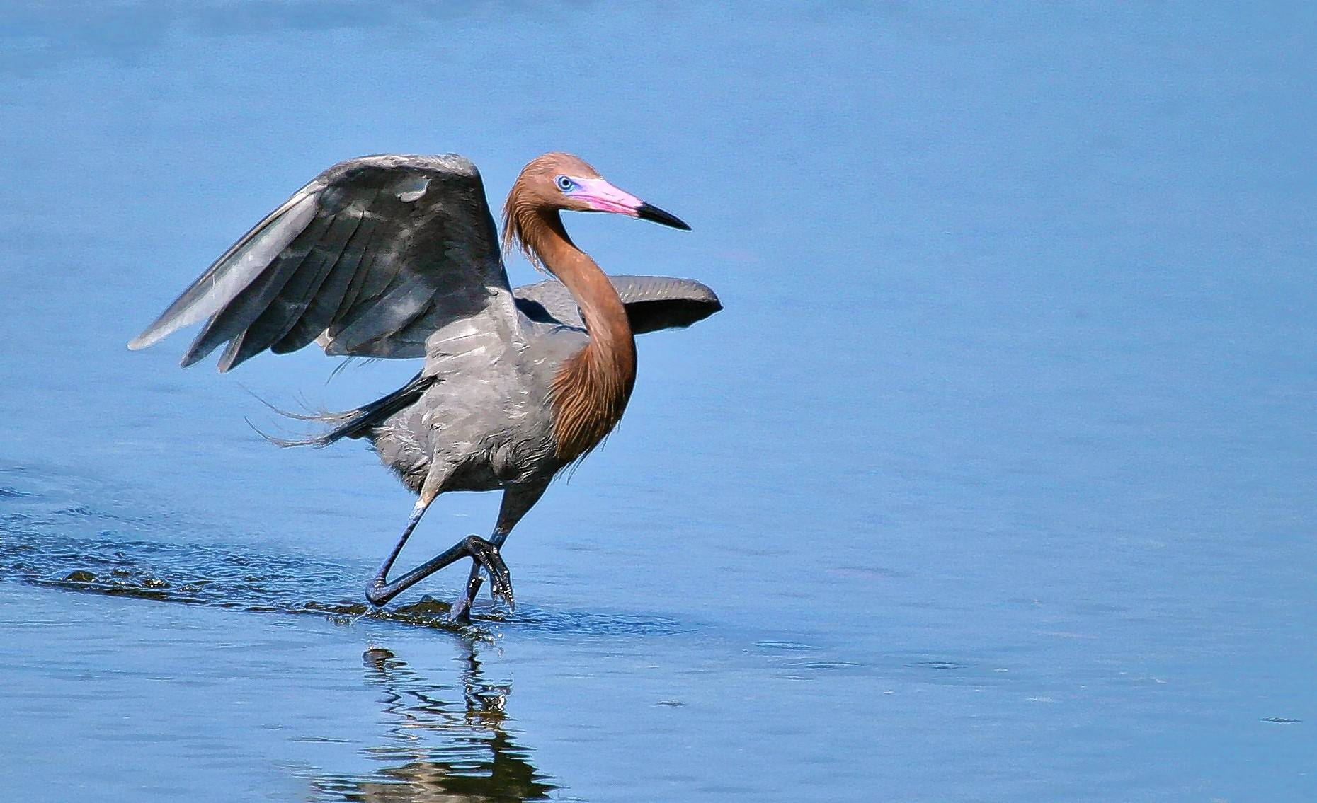 "Reddish egret is one of the must-see birds at ""Ding"" Darling National Wildlife Refuge on Sanibel Island. The site is known for its roseate spoonbills, too."