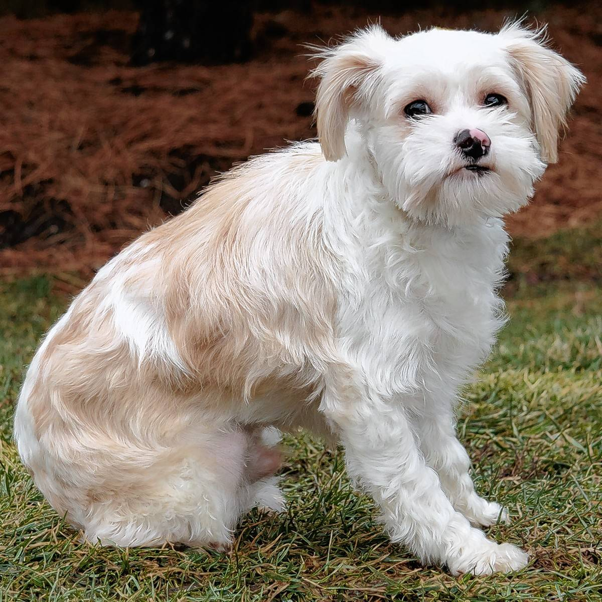 Bently is a male Maltese/Chihuahua/terrier mix, who is 4 months old. This cutie weighs in at 15.6 pounds.