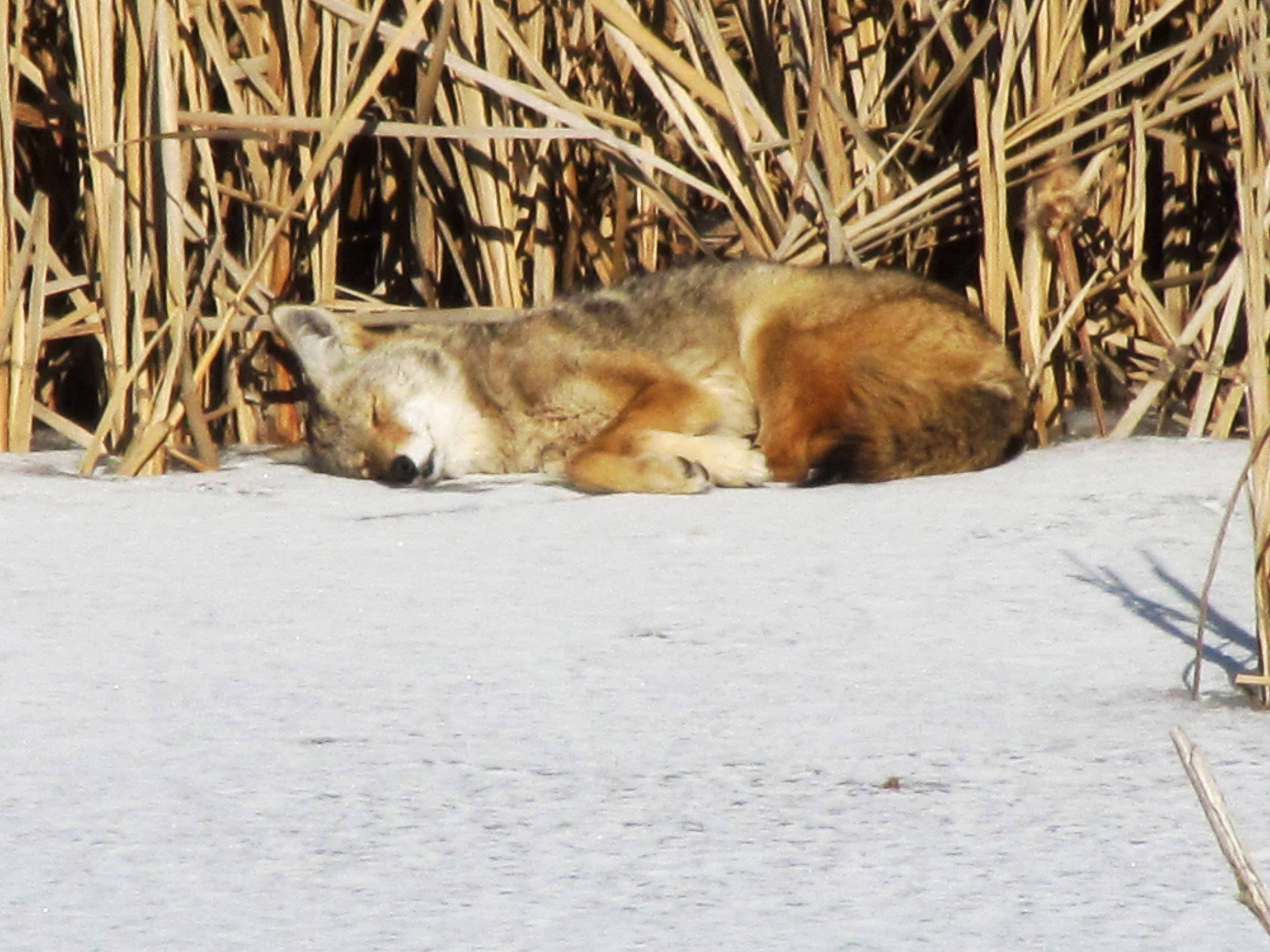 A coyote takes an afternoon nap near wetlands in Hawthorn Woods on February 17, 2013.