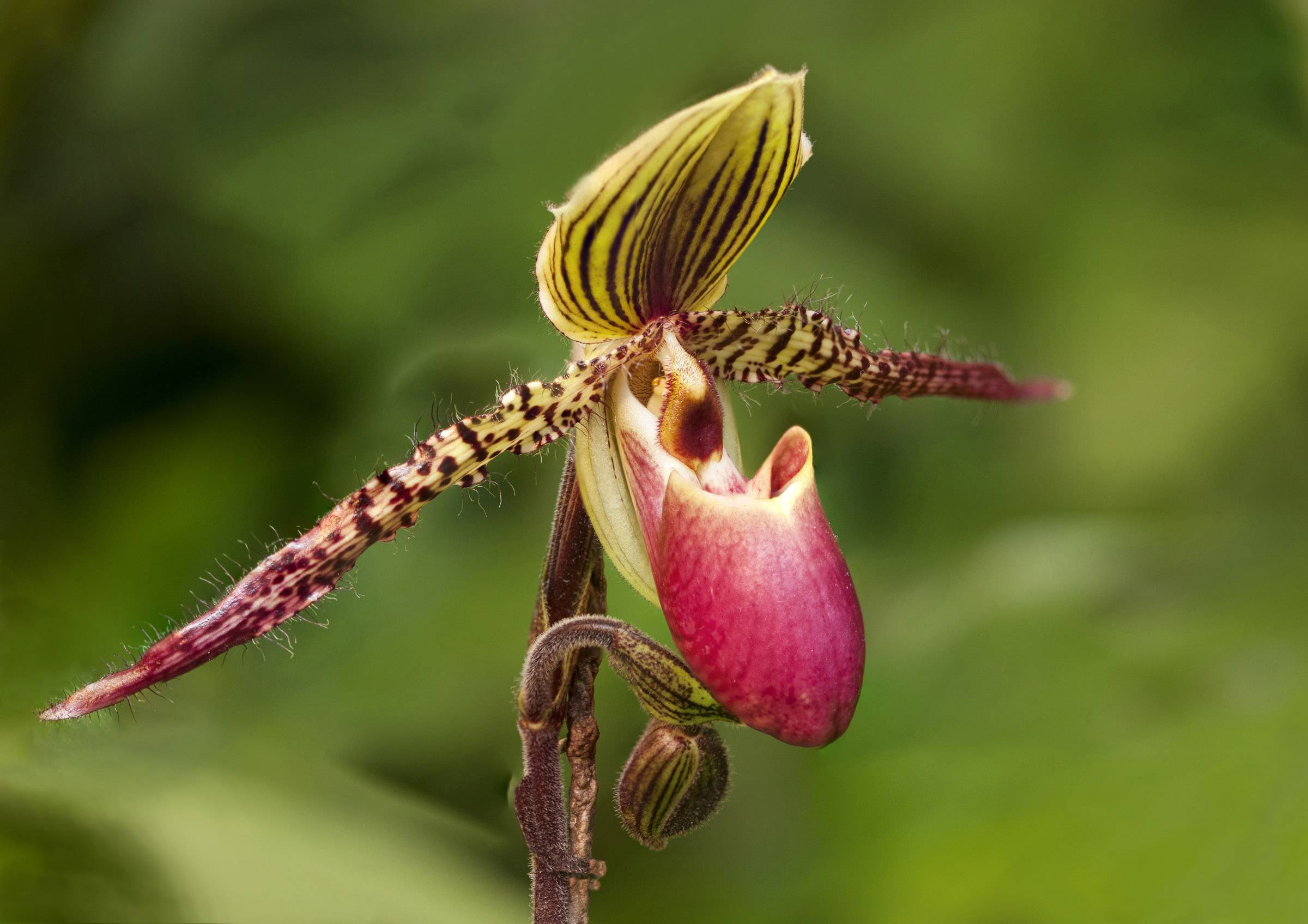 A colorful slipper orchid at the Chicago Botanic Garden in Glencoe on February 24 with intricate fine hairs on the stems.
