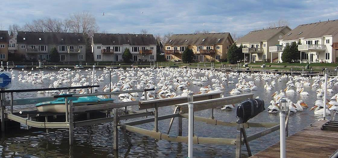 American white pelicans have been migrating through the Chain O' Lakes area, like this Spring Lake inlet at the Antioch Golf Club in Antioch. They are among the largest birds in North America.