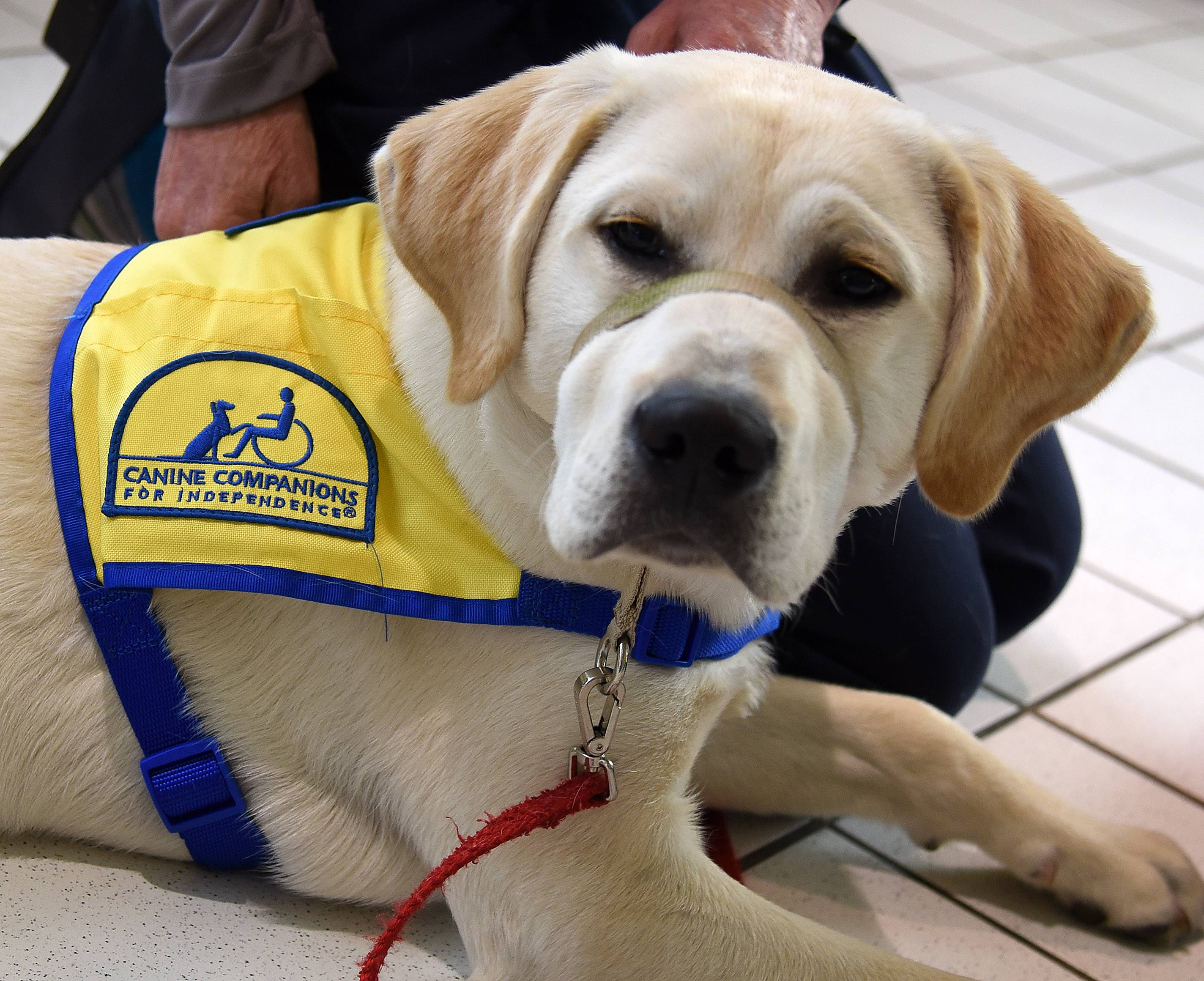 essays on service dogs 8 types of service dogs we should be grateful for happy international assistance dog week these canines devote their lives to the safety of their humans.