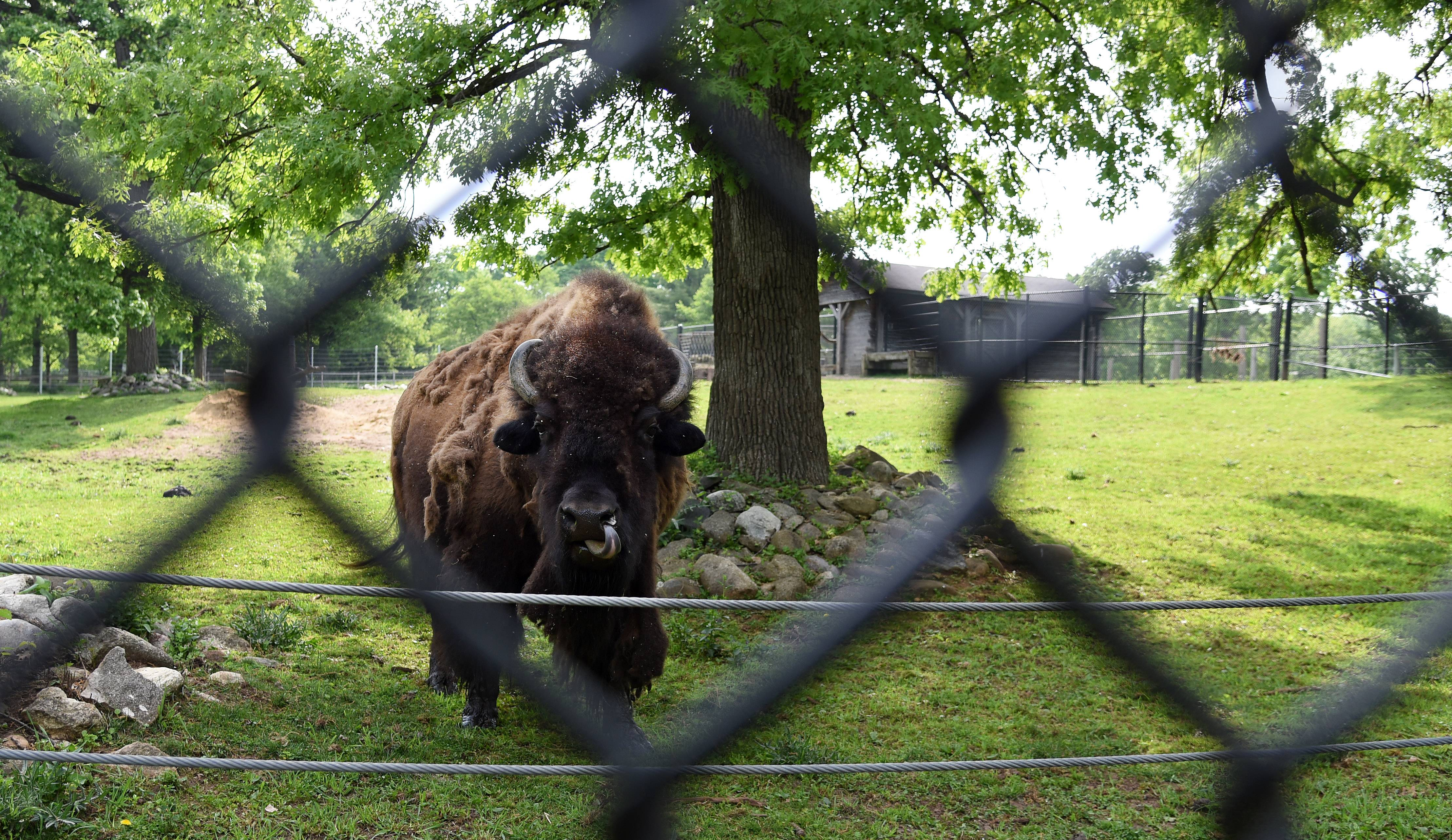 Lords Park Zoo in Elgin which has two bison, is expected to get two more bison sometime this fall.