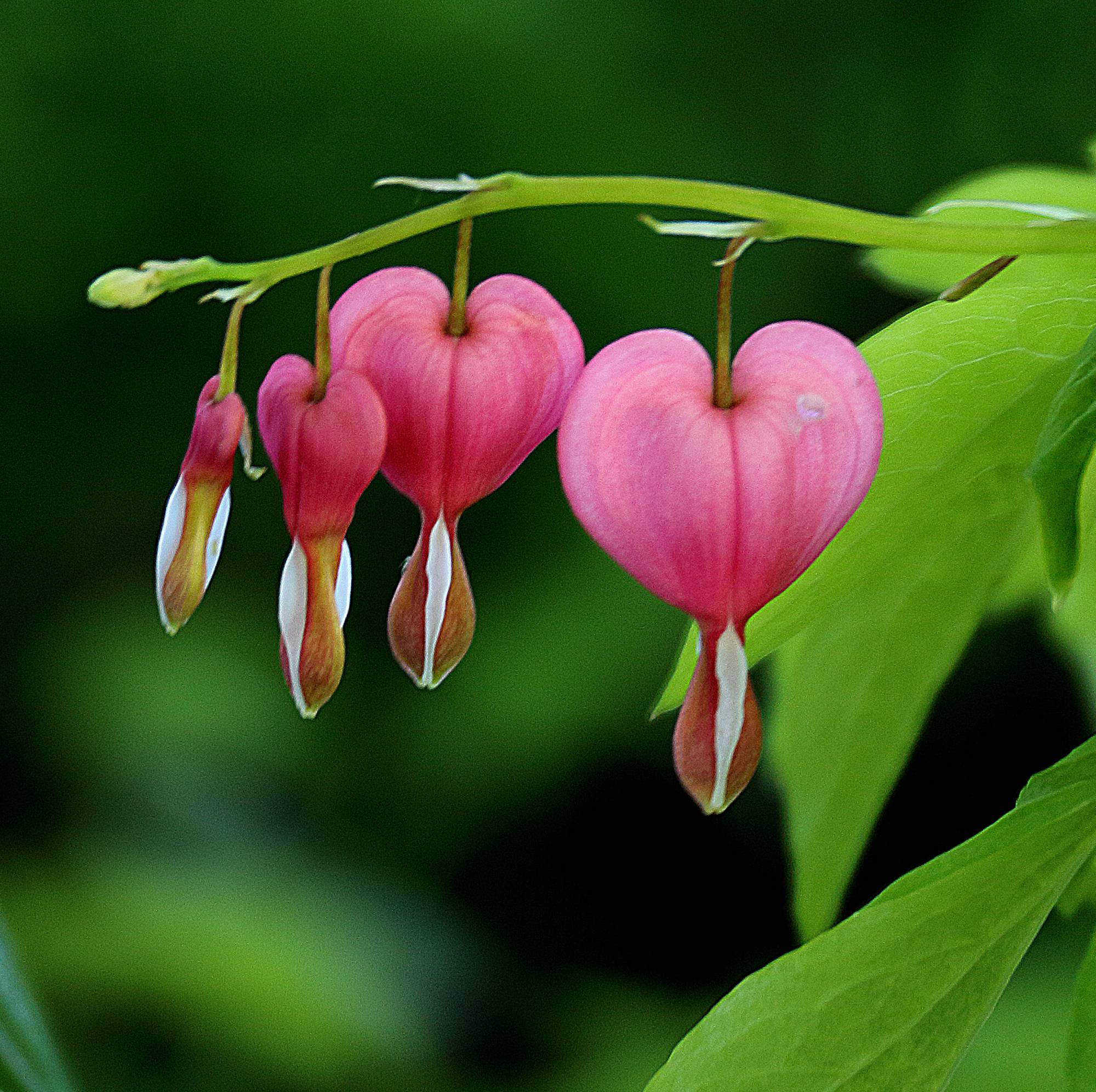 This is a photo of Bleeding Hearts, also called the Valentine Flower, I took at the Morton Arboretum, last week. This is a shade loving flowering plant. I was attracted by the brilliant colors and linear pattern of the bloom, hanging from slender stem that arches due to the weight of the flowers. At close inspection this relatively small flower has beautiful curved lines converging at the lower part of the heart, from which there is a leaf like colorful extension. The plant and the flower are poisonous, to be kept away from children.