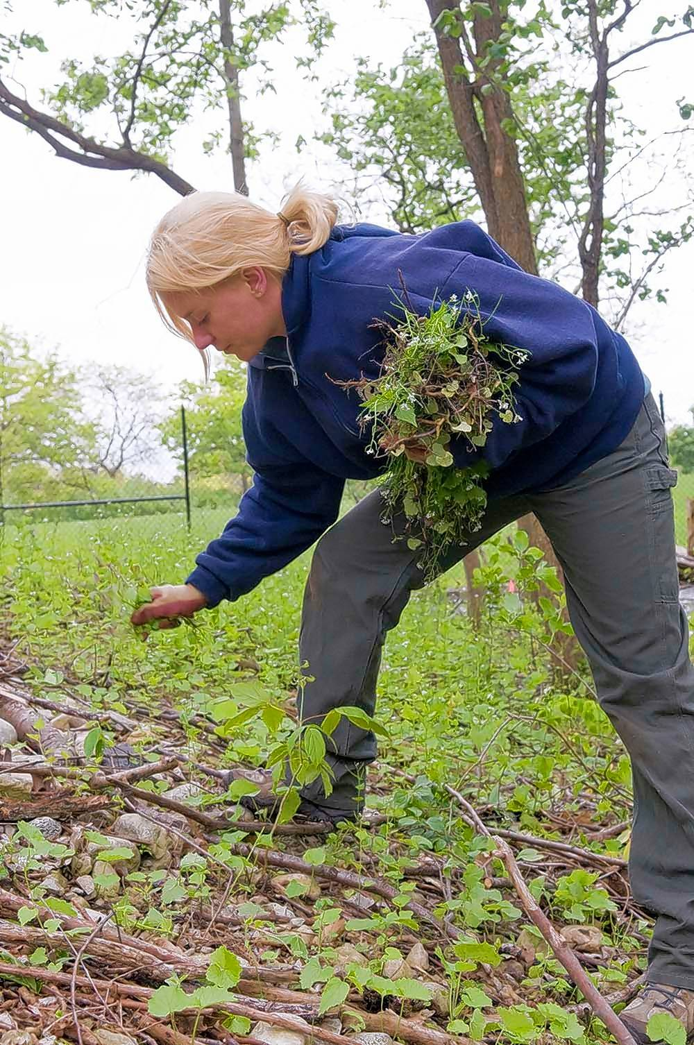 Be sure to hand pull garlic mustard that is flowering or setting seed now in your garden.