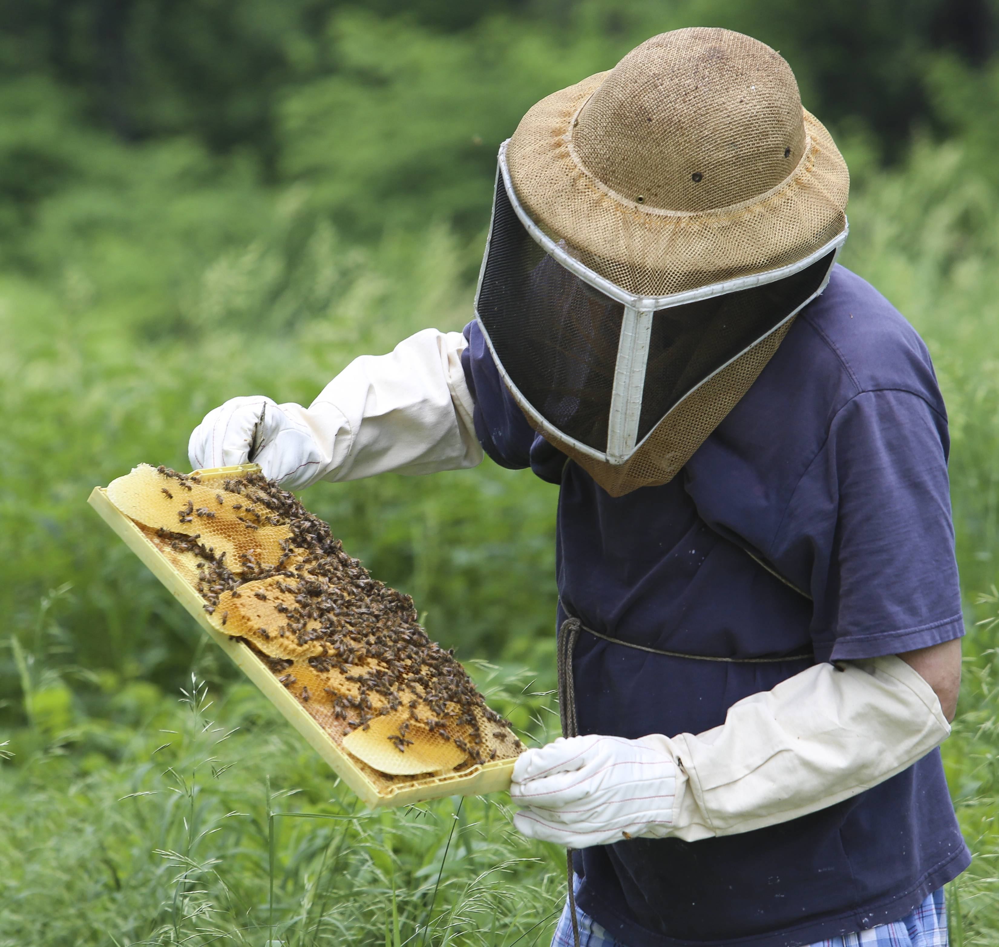 Charmant Tim Thompson, A Beekeeper With Wild Blossom Meadery, Examines One Of About  60 Bee