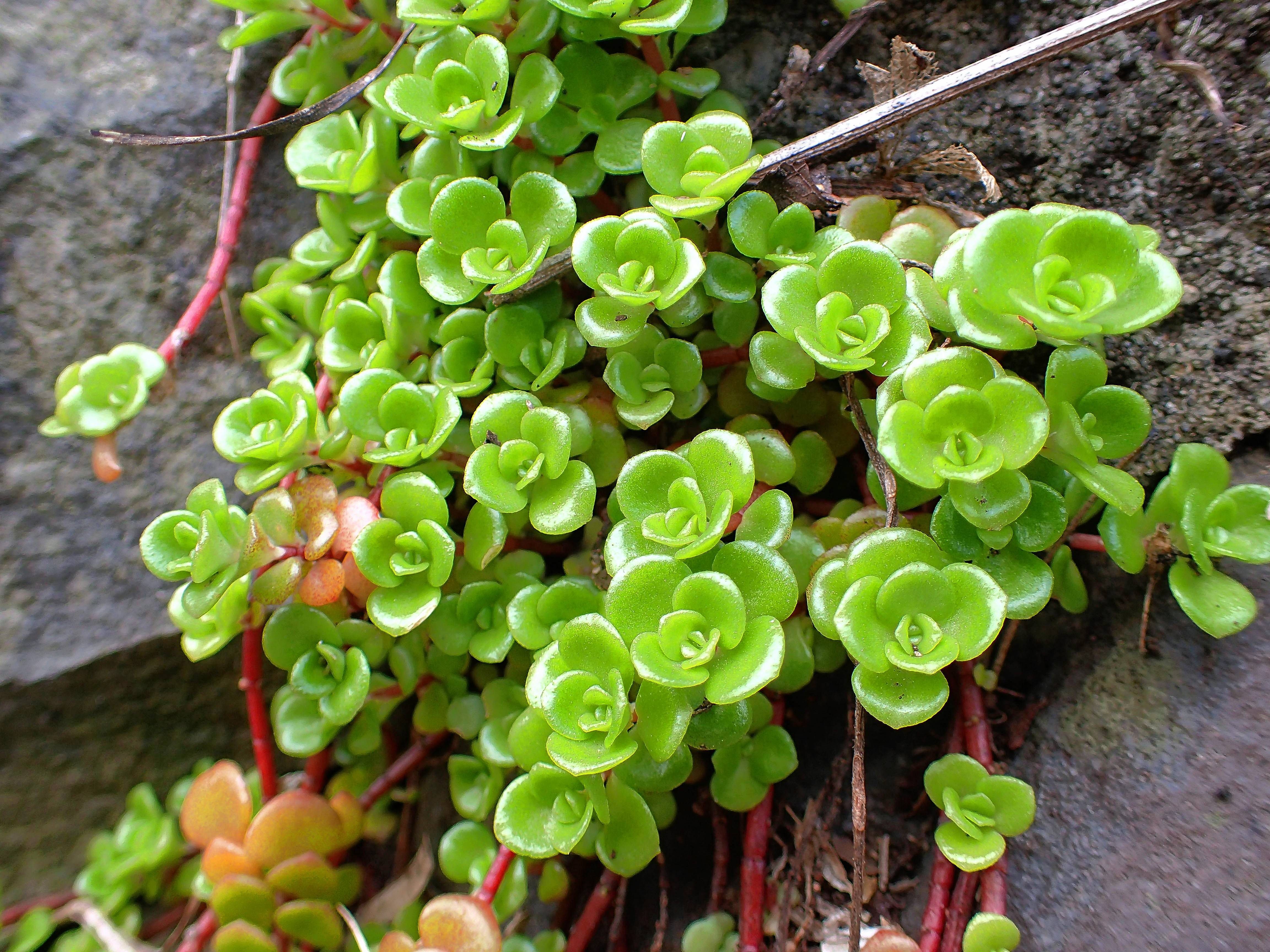 Some Types Of Low Growing Ground Cover, Including Sedum, Are Easy To Grow
