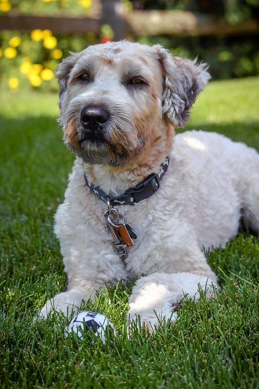 After Carpentersville resident Jason Koth's dog, Buddy, was attacked in March, he asked village officials to implement stricter rules for dangerous and vicious dogs.