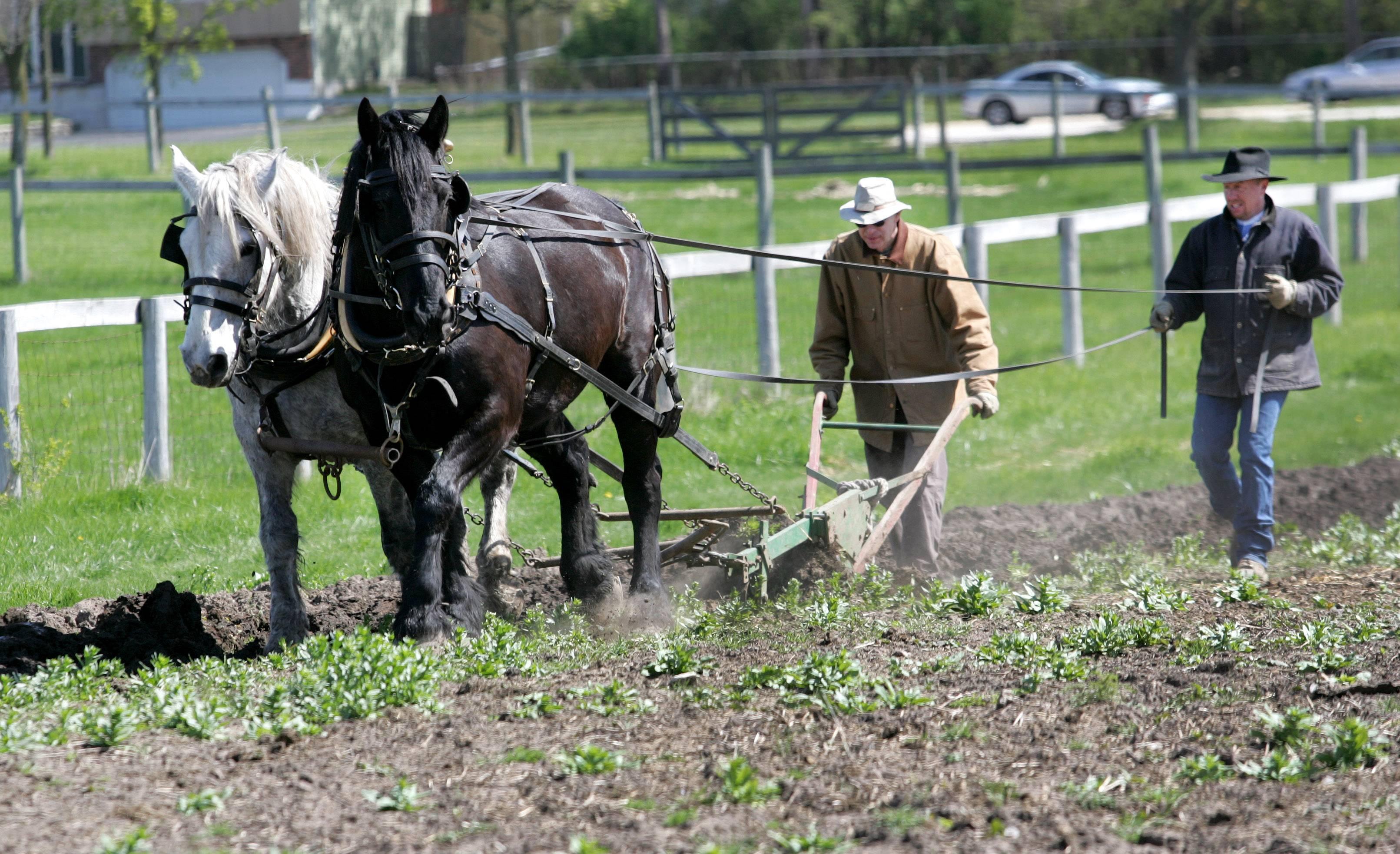 Two draft horses — Jack, left, and Darryl — remain at Kline Creek Farm in West Chicago, despite talk of the DuPage County Forest Preserve District selling them to Schaumburg Park District.