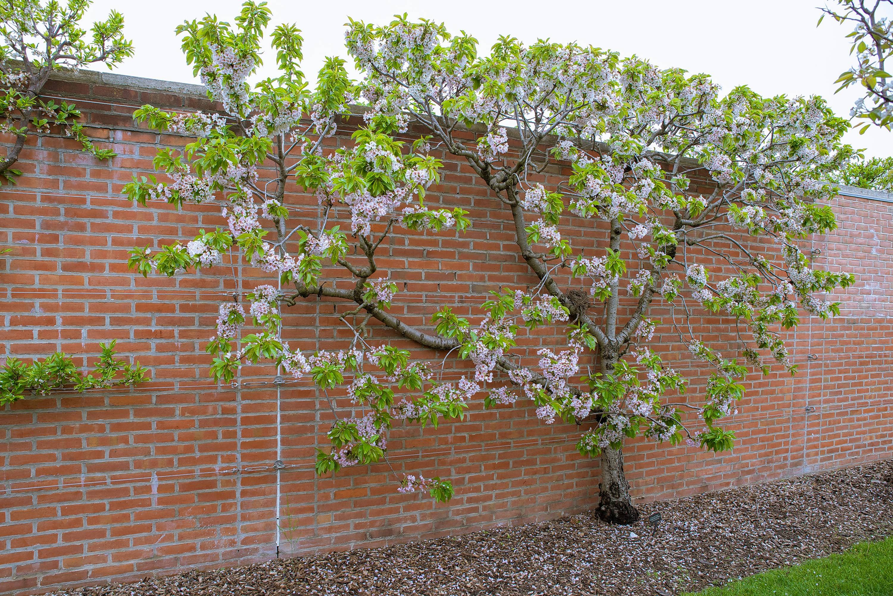 To train an espalier plant, twigs and branches are bent to meet design requirements when they are young and supple.