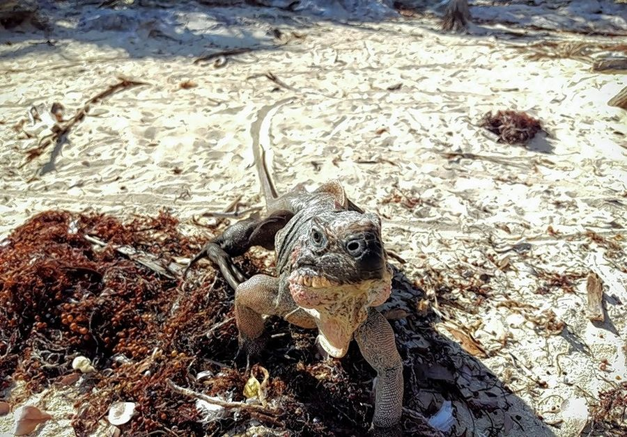 North Central College students on a research trip to the Bahamas with the Shedd Aquarium helped out with a project involving iguanas like this one.