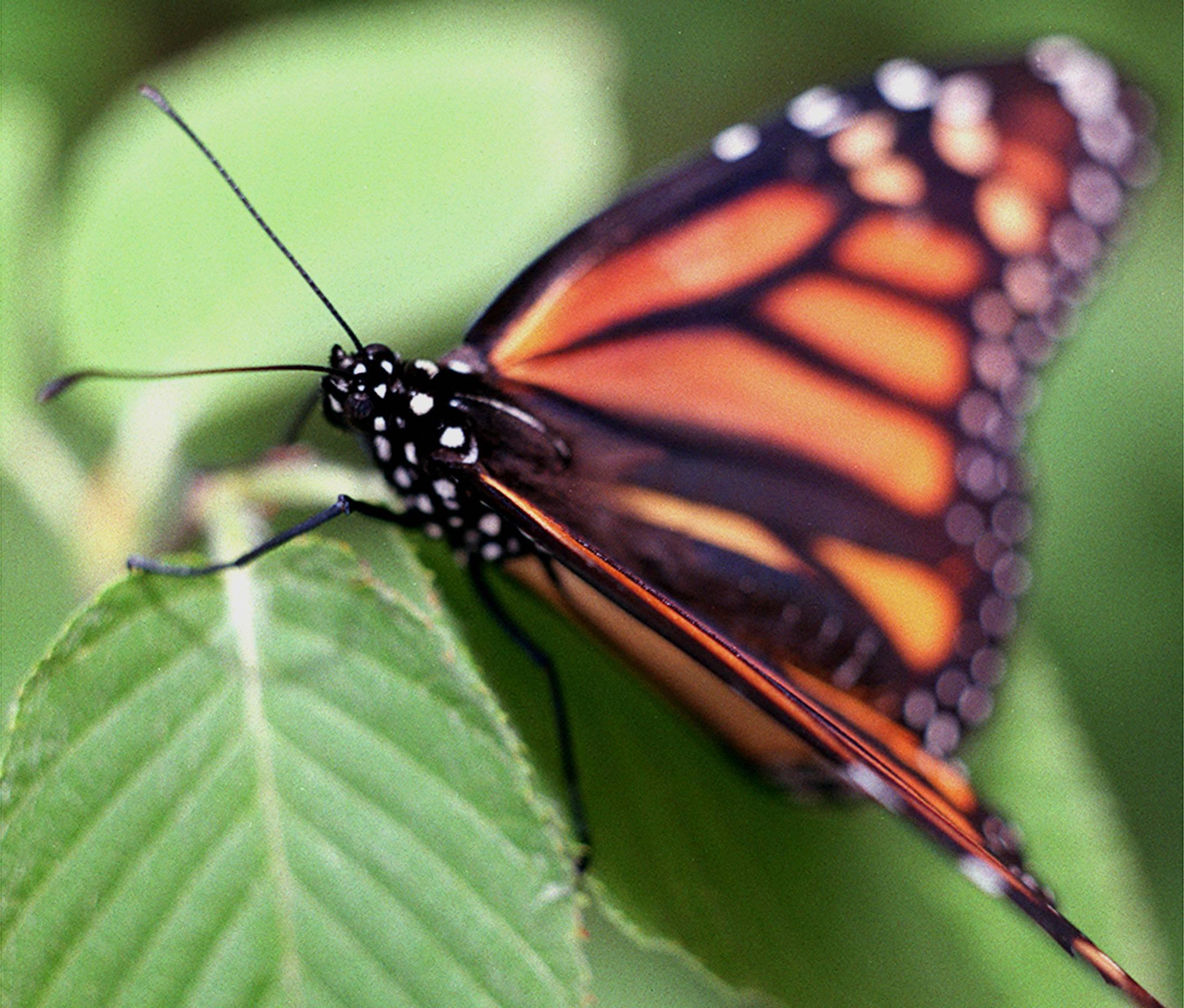 Lake Zurich joins effort to save monarch butterflies