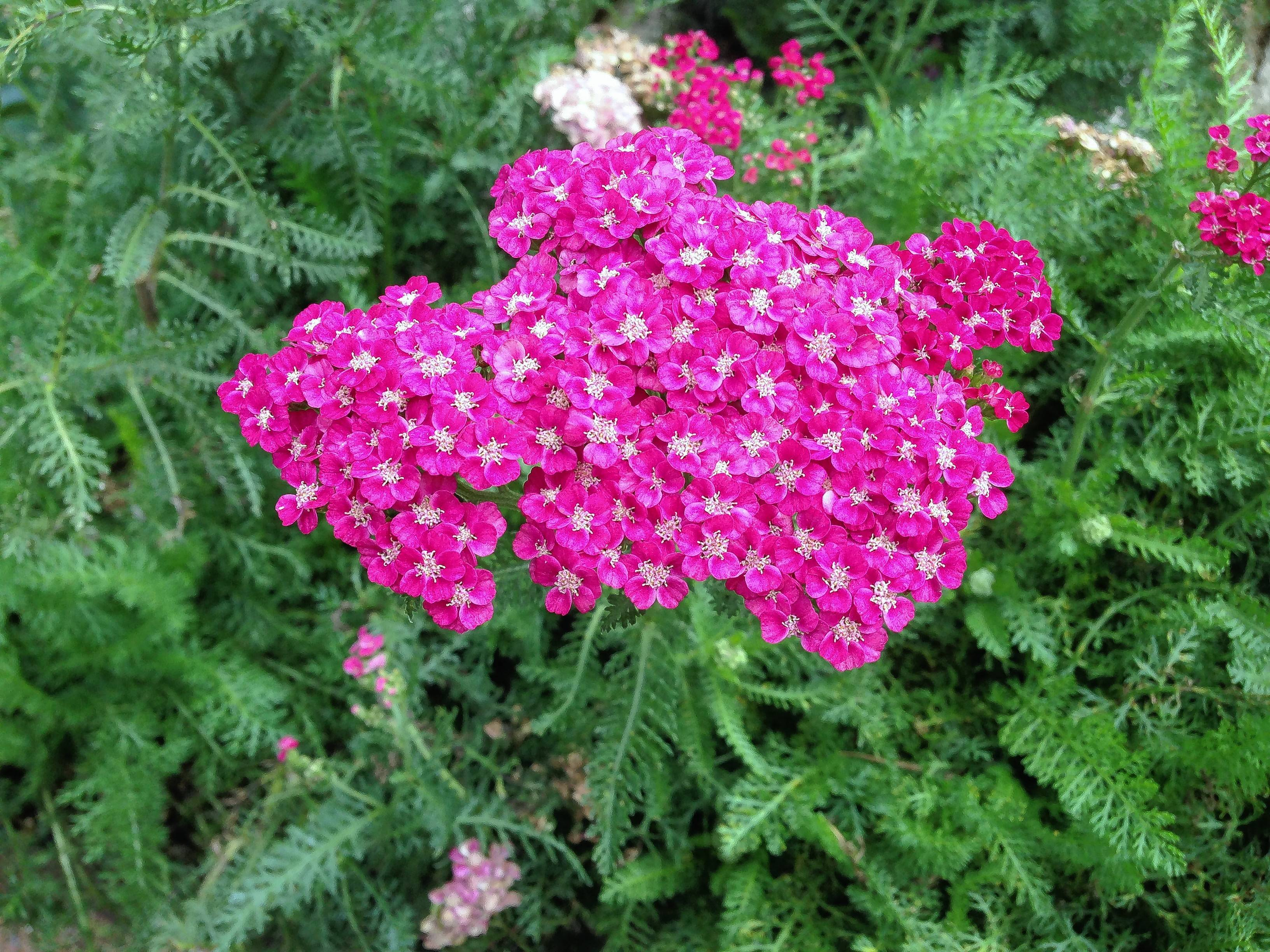 "The rosy-pink flowers of Achillea ""Saucy Seduction"" bloom all summer."