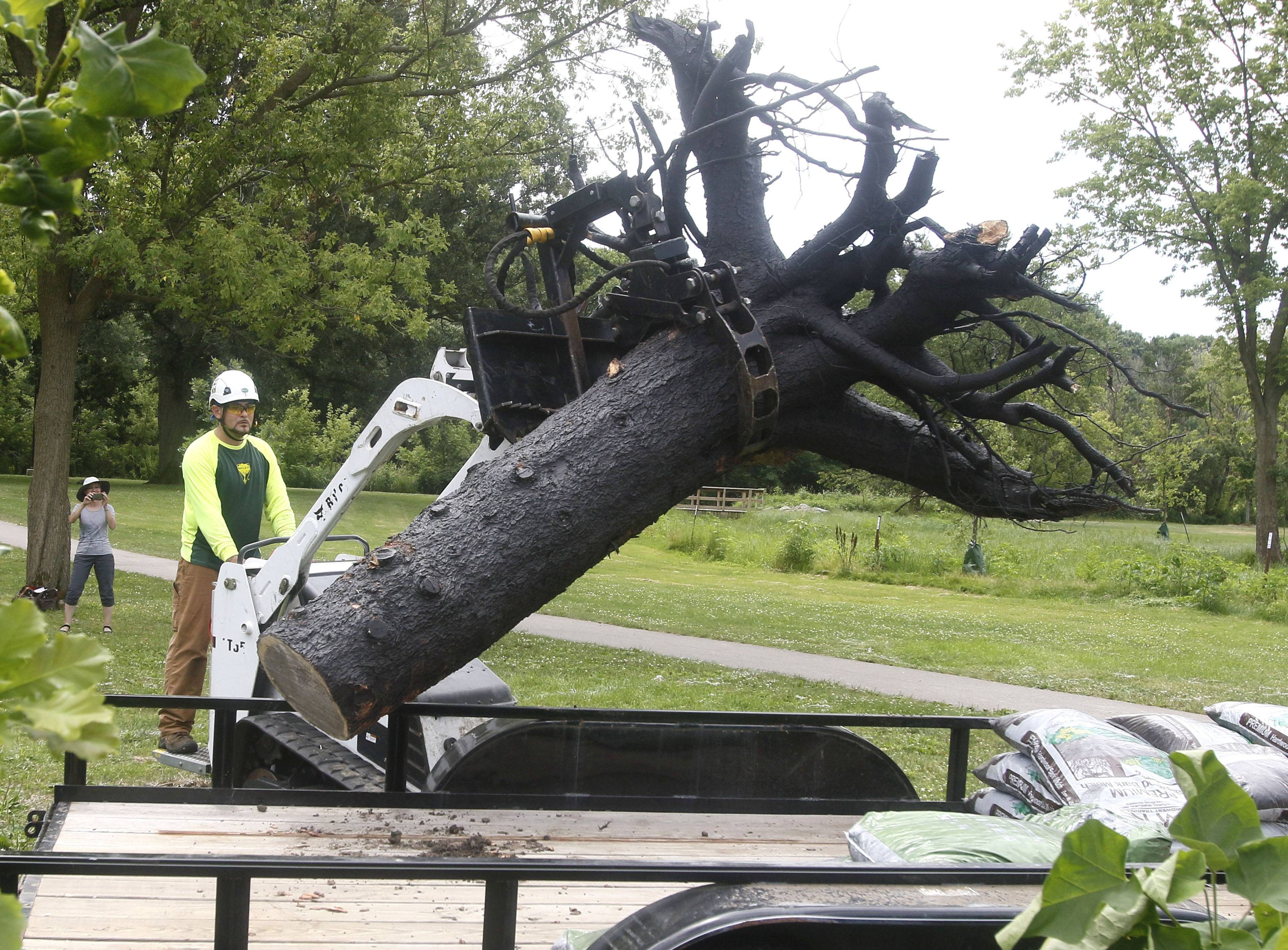 "Federico Flores of Bartlett Tree Experts lifts more than 500 pounds of upended tree roots with a Bobcat minitruck to be placed in an artistic planting called ""See the Forest (For the Trees)"" at the Knoch Knolls Nature Center in Naperville."