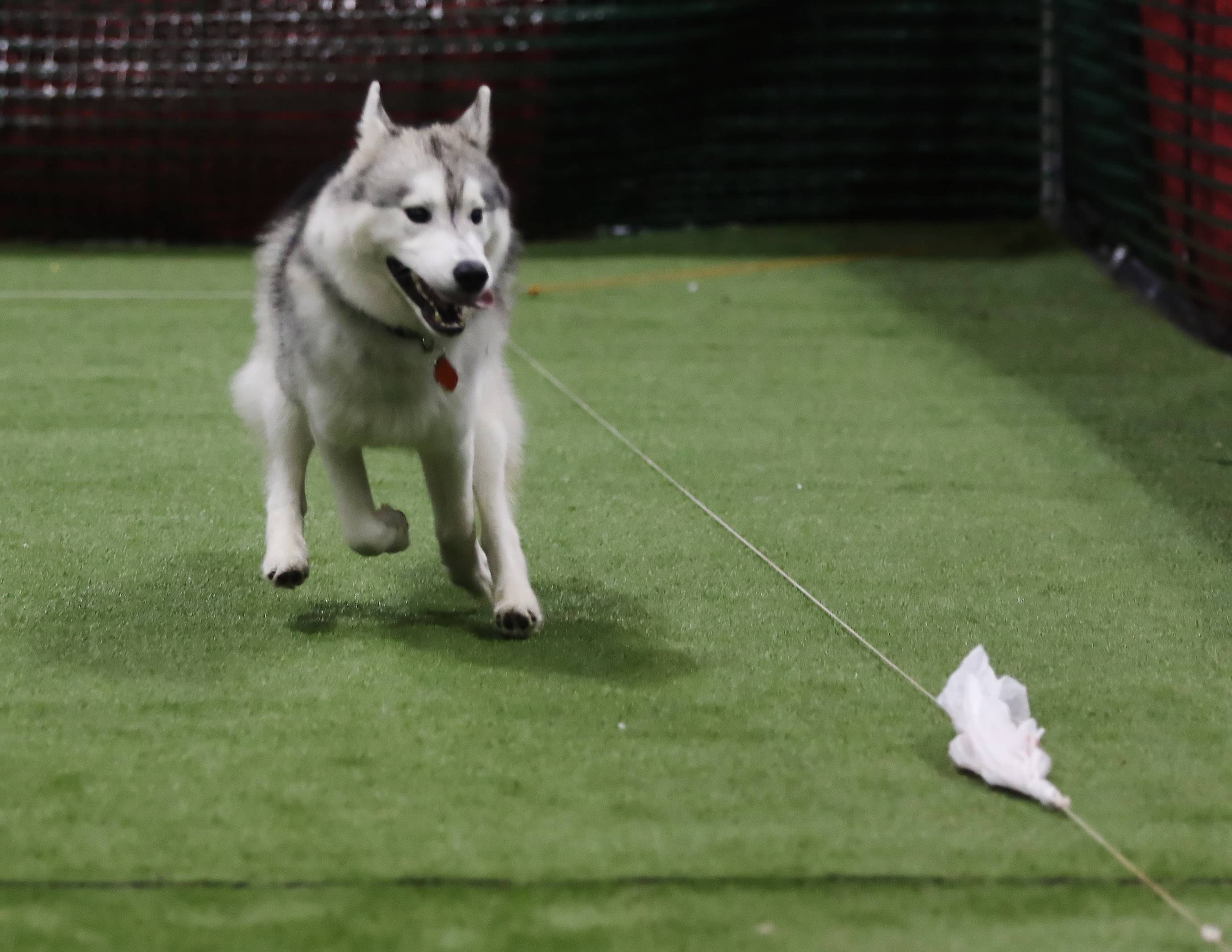 A Husky named Aspen chases after a lure at the Lucky Dog Adventures booth during Sunday's Windy City Amazing Pet Expo at the Schaumburg Convention Center. Aspen is owned by Tyler Aldin of Mount Prospect.