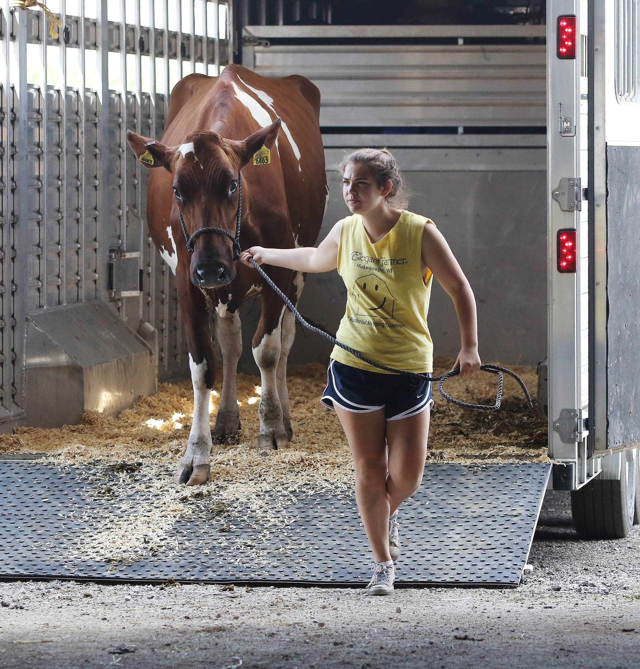 Jessica Wittenstein, 16, of the Glenview Clovers 4-H Club unloads a Holstein cow Tuesday for the Lake County Fair. The fair runs Wednesday through Sunday at the Lake County Fairgrounds in Grayslake.