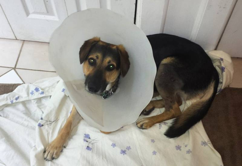 Lake County Health Department's Animal Care and Control program has labeled as dangerous two dogs that attacked 15-month-old German shepherd mix, Alice, in May in Lake Zurich.