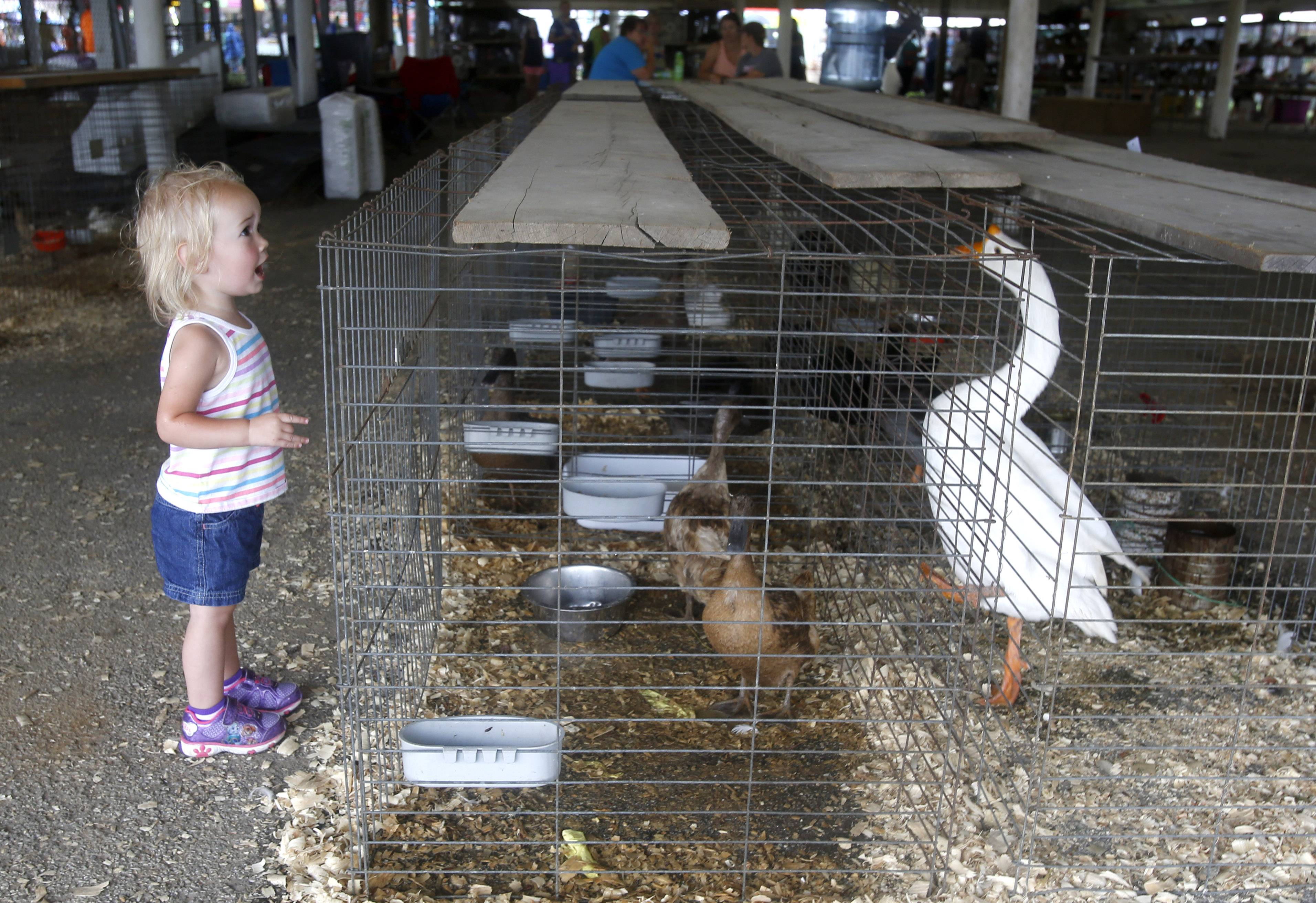 Hartley Oliver, 2, of Winfield, can attest that animals were among the stars of the show Thursday during the second day of the DuPage County Fair in Wheaton.