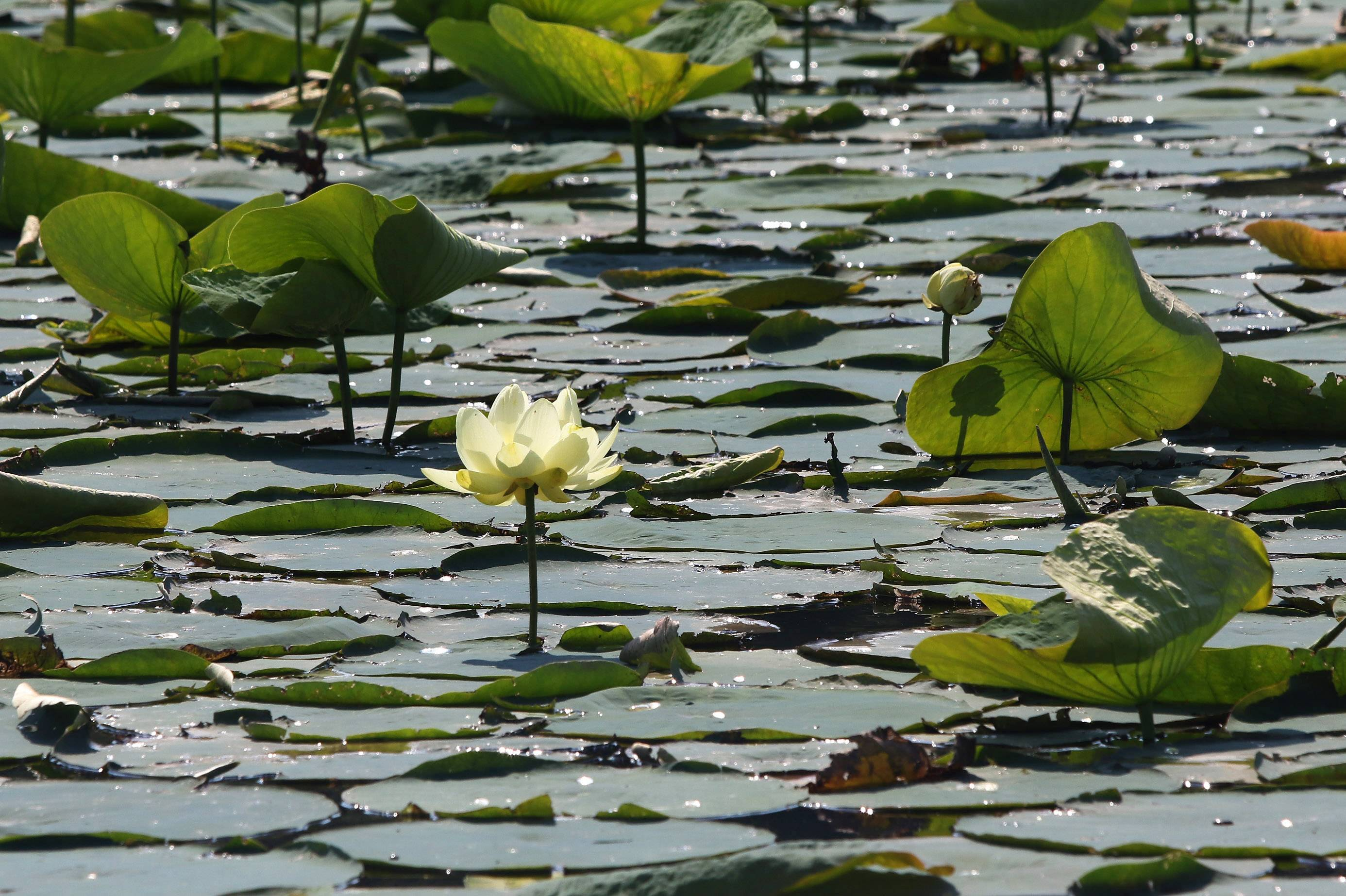 american lotuses are blooming again on the chain o' lakes, Beautiful flower