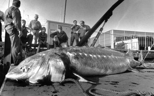 These animals outlive humans top 10 longest living critters for Longest living fish