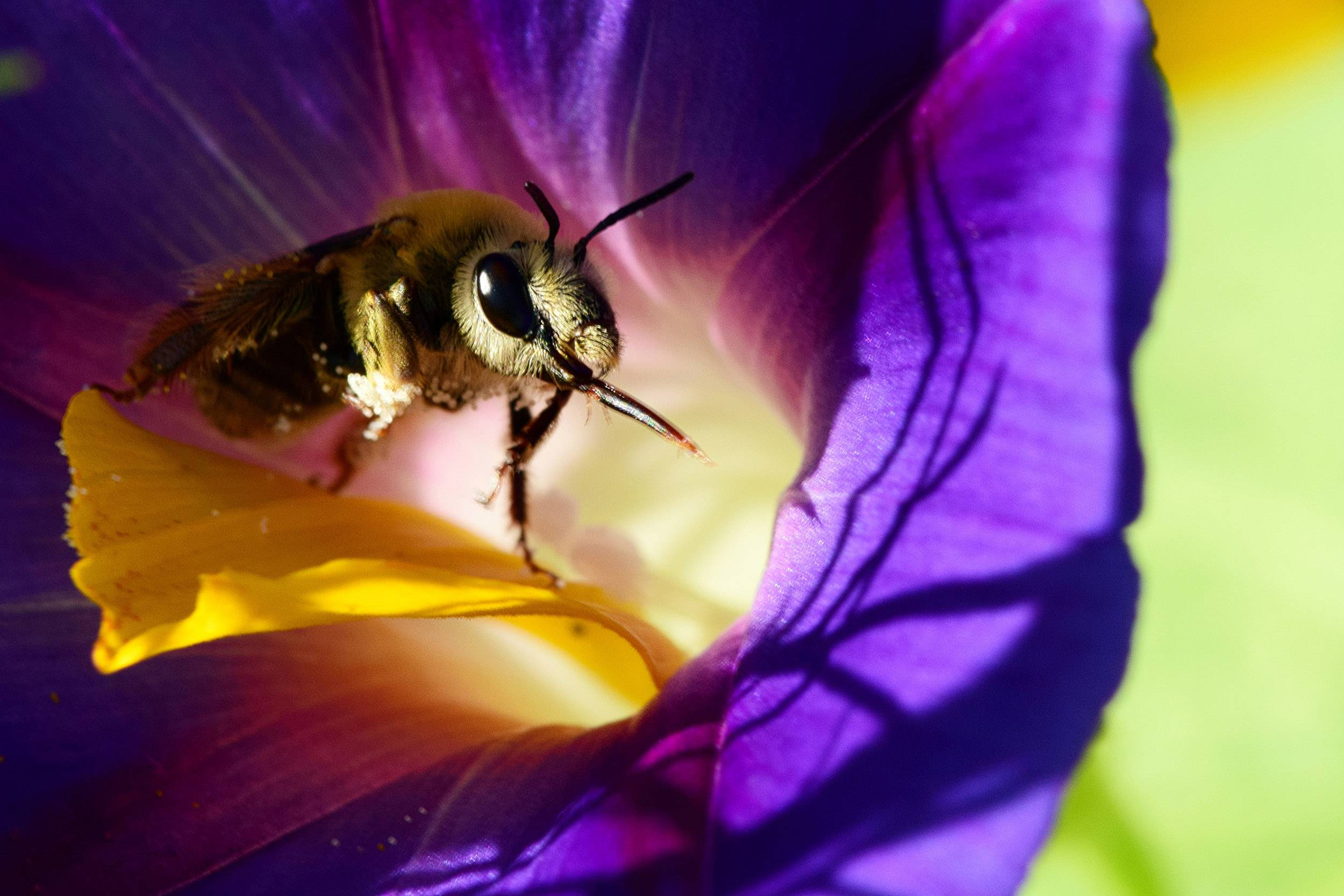 A bee walks around on a yellow petal that had fallen inside a morning glory blossom in a Gurnee garden on Thursday, Aug. 4.