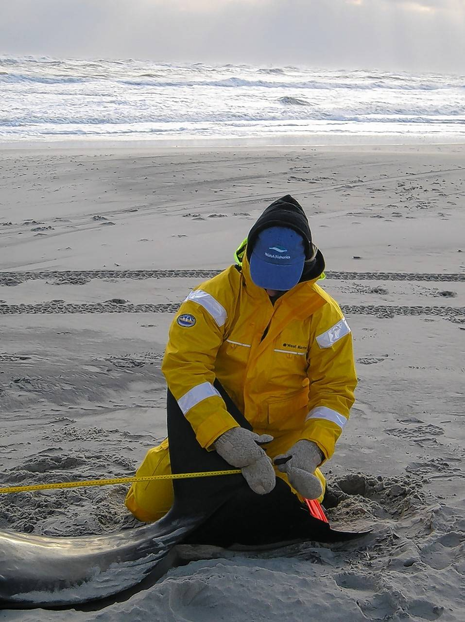 A U.S. Marine Mammal Health and Stranding Response Program network member aids a stranded pilot whale.