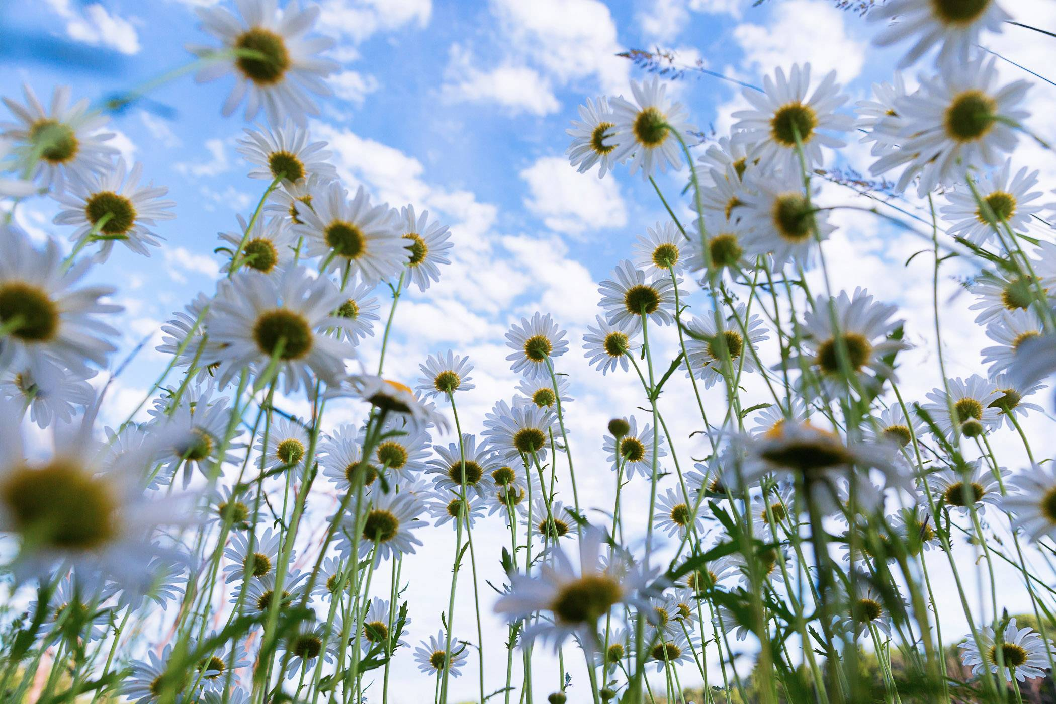 Wild daisies soak up the sun on June 12 along the Millennium Trail in Wauconda.