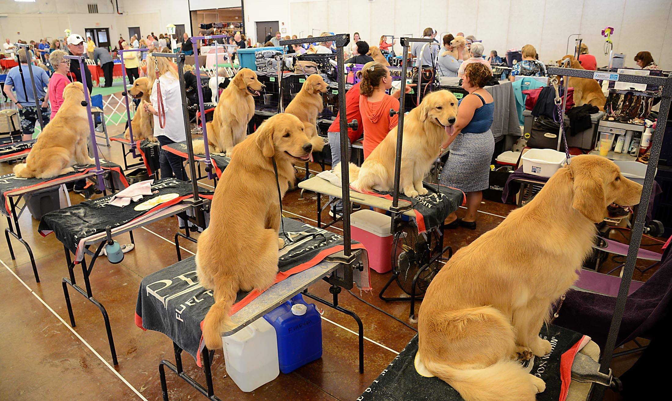 A pack of golden retrievers wait patiently on their grooming tables Saturday at the all-breed dog show sponsored by the Elgin Kennel Club at the Kane County Fairgrounds in St. Charles.