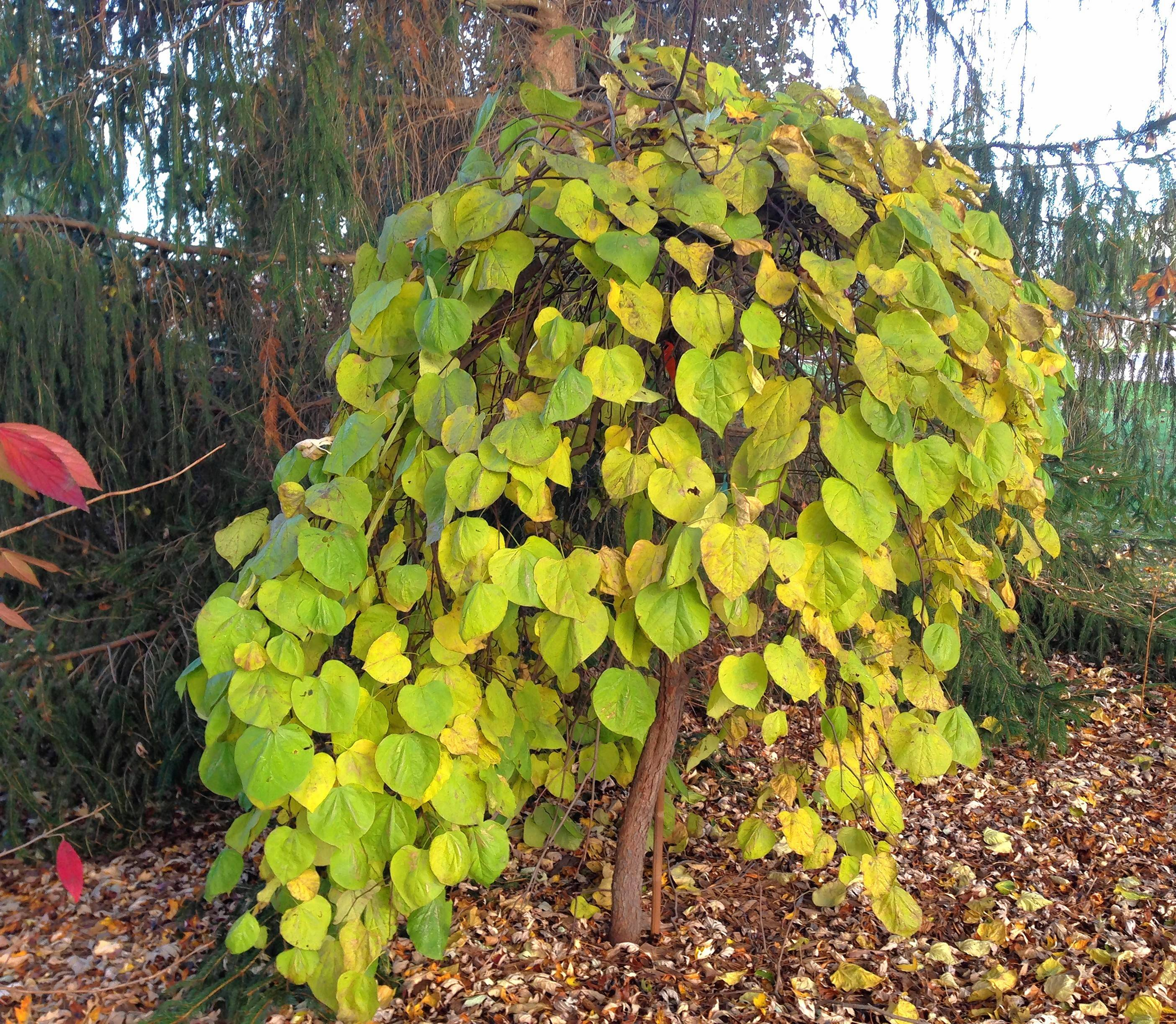 weeping plants make gardeners happy